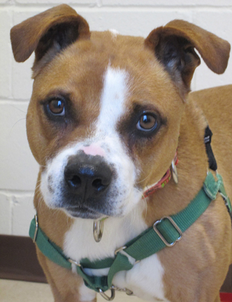Cider is a playful girl who is  looking for a home with love and energy.  She is part of a special program with the Ladd Lake Students.  These young men come to HAWS once a week to help Cider learn everything she needs to in order to get adopted.  She is doing extremely well and already knows some fun commands.  Stop by today to meet Cider!
