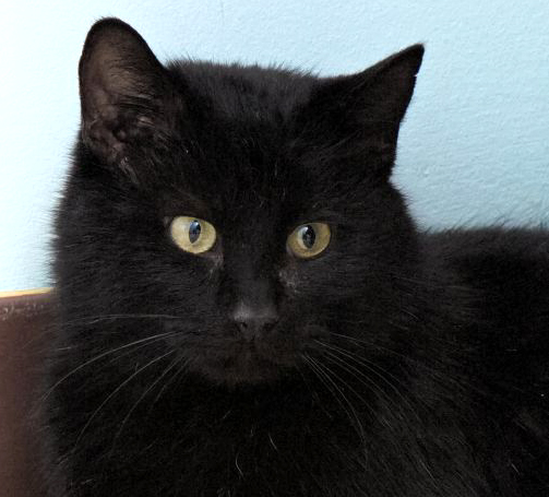 Indy is an exceptional kitty. He loves to snuggle and if you pick him up he rests his head on your shoulder. He is very laid back and easy going kitty. He can definitely roll with the punches.