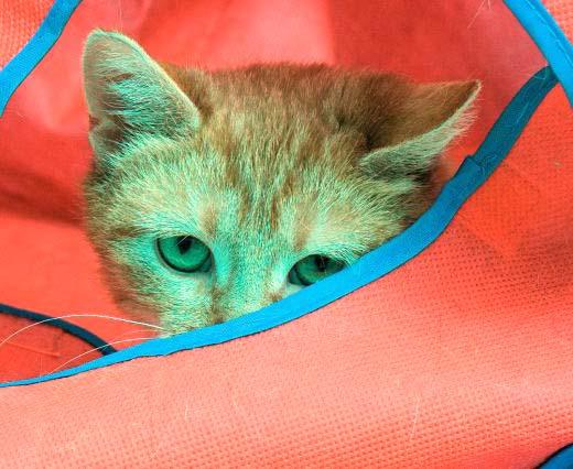 Peek-a-boo, I see you!  Esther is a very sweet one year old female kitty.  She has been living at HAWS for a couple months now and can't wait to live the good life with a family.  She is very loving and the cat volunteers just love her. Stop by PetSmart in Pewaukee to meet Esther today!