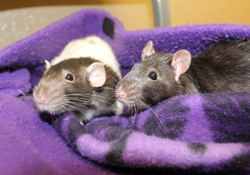 Anna and Elsa are a pair of rats that really love people and would love someone to teach them some tricks. Rats are very smart and can be trained, you know! They spend most of their day exploring their cage and enjoy riding on the volunteers' shoulders. Stop by today to meet these little ones.