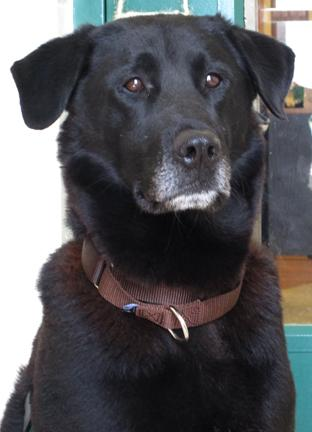 Gunner is a 4 year old lab who is a wonderful laid back boy. He loves to fetch, as any good retriever does, and also loves to snuggle. He is mild mannered and very affectionate. Please stop by HAWS today to meet this sweetie!