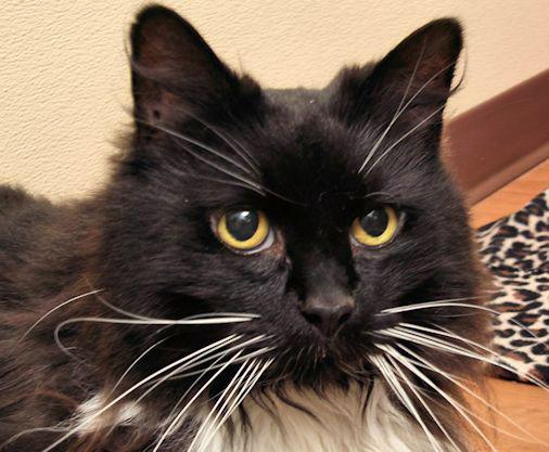 Medusa is a 5 year old long haired beauty. She loves to rub on your legs and be petted. She would love a window with a bird feeder on the outside so she can watch her birdies. She is front declawed and would just love an owner that would dote on her all day!