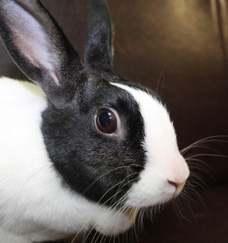 This very sweet and gentle little Dutch girl is Oreo. She enjoys gentle pets and sharing a green leafy salad with her human friends. She loves to explore and do bunny 500's and binkies of joy!  If you adopt her or any of the rabbits at Haws you will receive a free copy of HOUSE RABBIT HANDBOOK:HOW TO LIVE WITH AN URBAN RABBIT and RABBITS.GENTLE HEARTS.VALIANT SPIRITS.