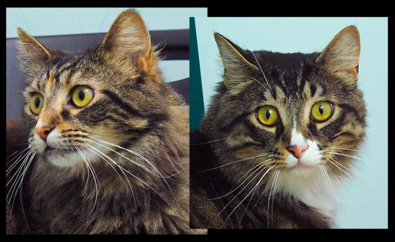 Pebbles and Bam Bam are a bonded pair of 2 year old kitties that would love to find a home together.  They are not picky and promise to be wonderful companions.  Stop by our Kitty Kastle at HAWS to meet this pretty pair.