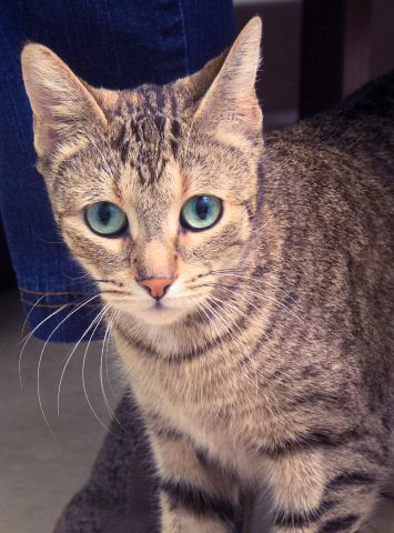 Emerald is a sweet little girl that loves visitors. She will rub on the front of the cage until you take her out. Emerald is 2 years old, just old enough to have lost those naughty kitten habits.