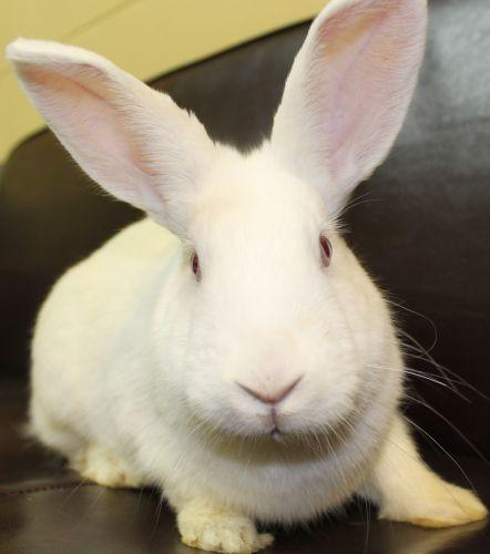 This lovely young gal is not quite full grown. She was found outside all alone and homeless. She is very sweet. She has lovely pink eyes and a beautiful white fur coat! That's why they call her Candy Cane. Please come in and visit with her. To learn about house rabbits as companions go to  www.rabbit.org .