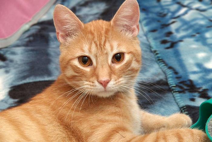 Marcus is an adorable young male kitty who is still full of kitten! He is a ball of fun and would bring love and life to any home. He is currently being housed at Petsmart in Pewaukee so please be sure to stop in to meet him today!