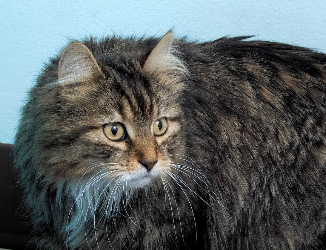 Baby Kitten is a Domestic Longhair who is 3 years old. She is very friendly and affectionate,but little shy at first. She would do best in a home with no other pets, only because she may be shy/afraid around the other animals.