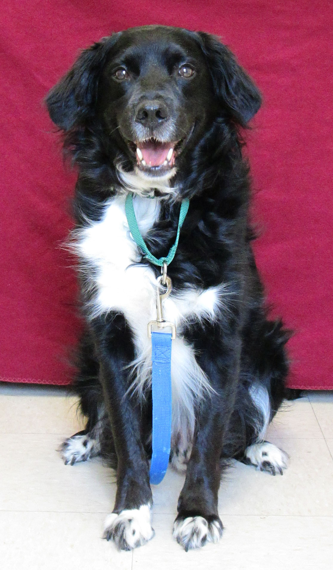 Snickers is a 9-year-old Lab/Springer mix. He is a very nice boy who needs apatient, dog-savvy home. If his home has another dog he would prefer it to be a calmer, quieter dog who is less bold. What he would really love is to be your one and only! If the home has children we are requiring the children to be teens or older.