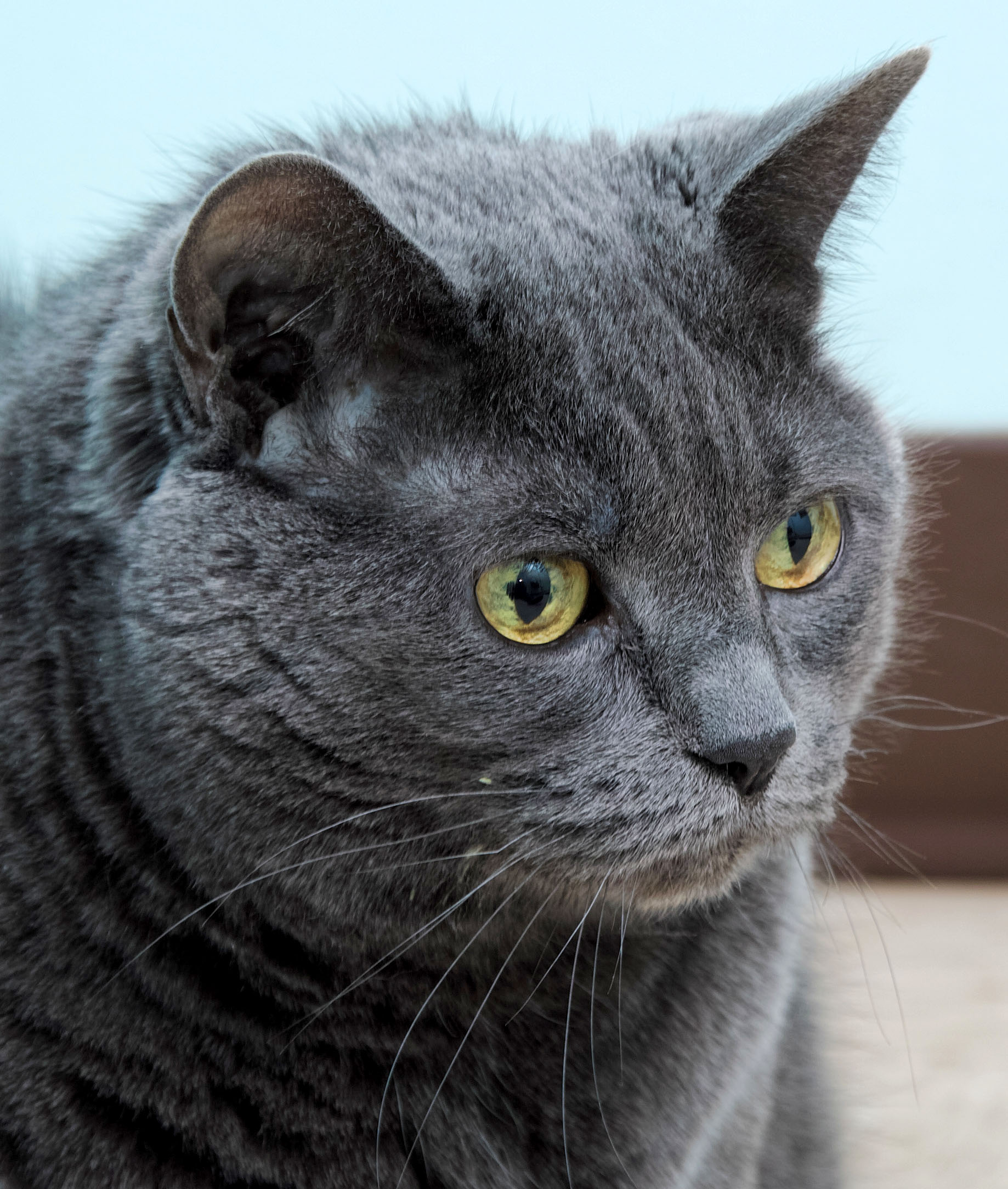Annabelle is a 10-year-old 4 paw declawed domestic short hair. She likes attention, but on her terms. She is a full figured lady who doesn't appreciate being picked up. She will jump in your lap when she is ready, when she does, she is a purr machine!