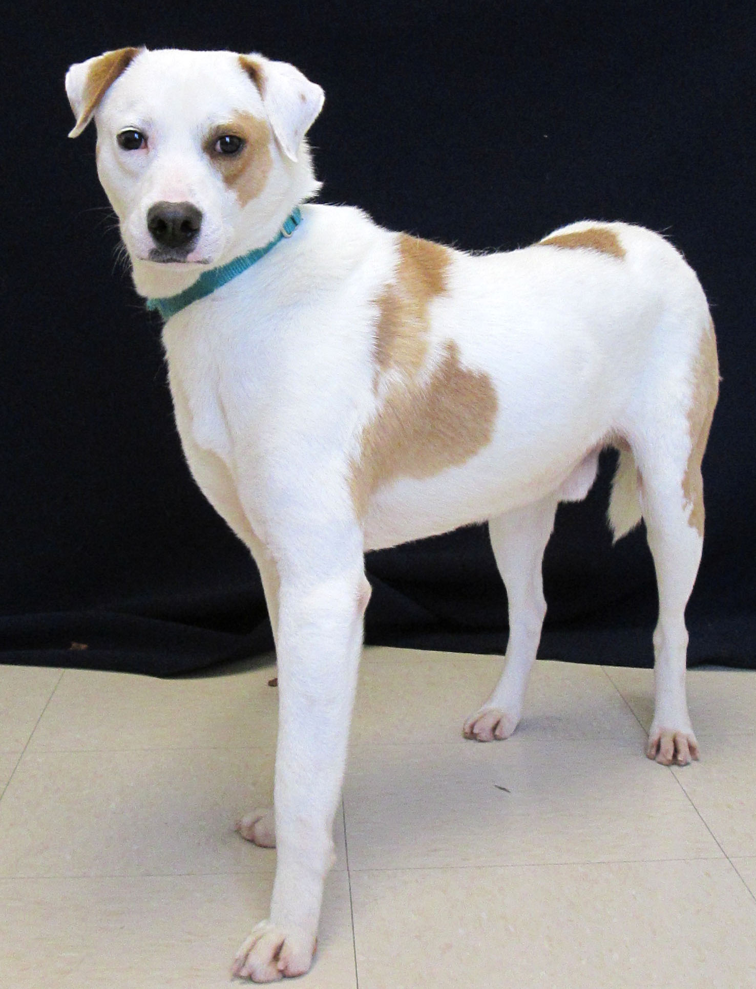Gumby is a 2-year-old lab mix. He loves to play and run around with his toys. Healso lovesto be petted andgoon long walks. If there is a cat in the home he would do best with an assertive cat. He is selective with the dogs he meets,but in the right circumstance wouldbe okay withacaninefriend.