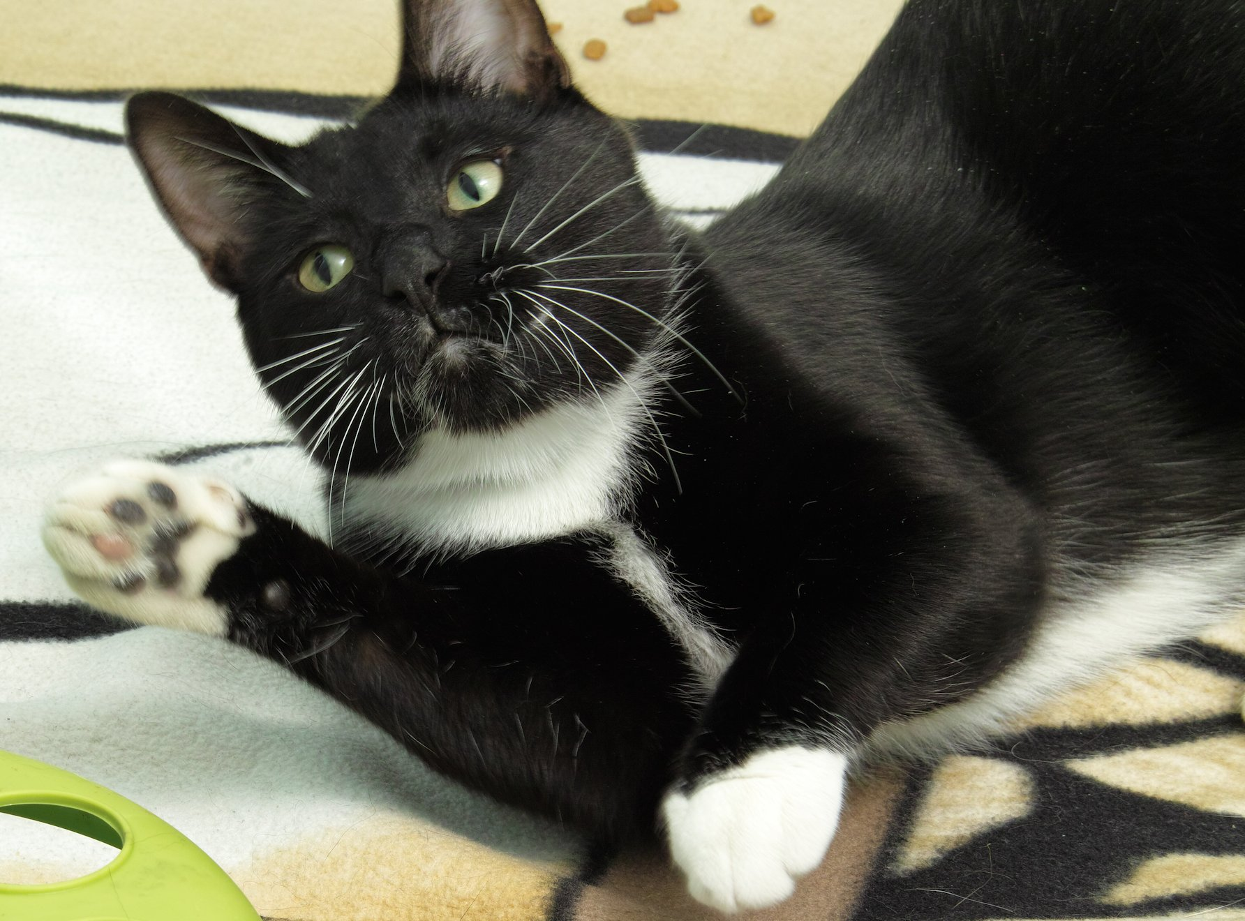 Kye is a 3 year old domestic short hair. He is a very handsome, sweet boy who is looking for his forever home! He prefers not to be picked up but will spend hours by your side and in your lap!