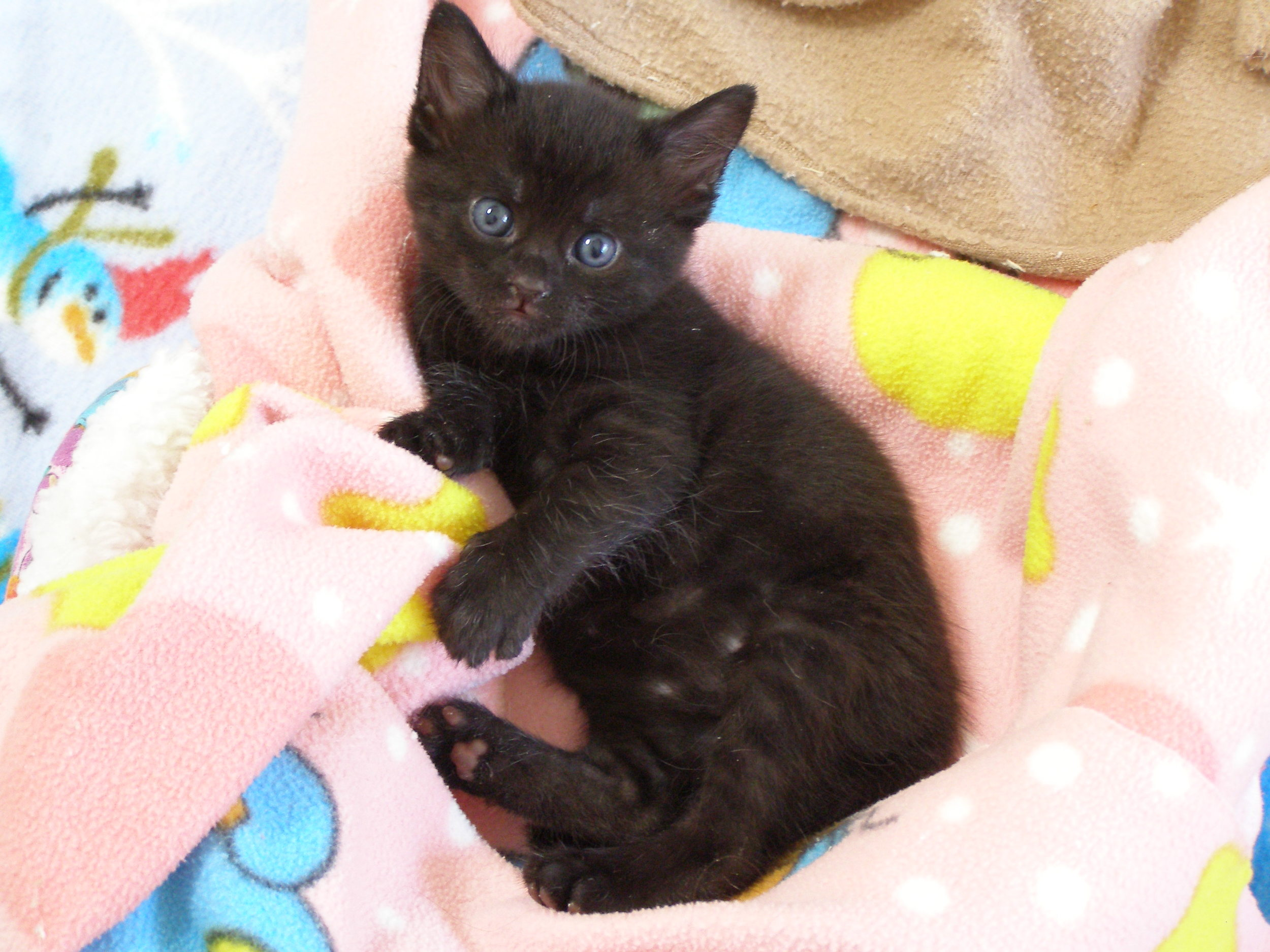 KITTENS :) All adoptable kittens are at least 8 weeks of age, spayed or neutered, micro-chipped and have received their basic vaccinations. Our selection of kittens changes daily, please stop in or call to she what we have available for adoption. Who can resist the cuteness?!