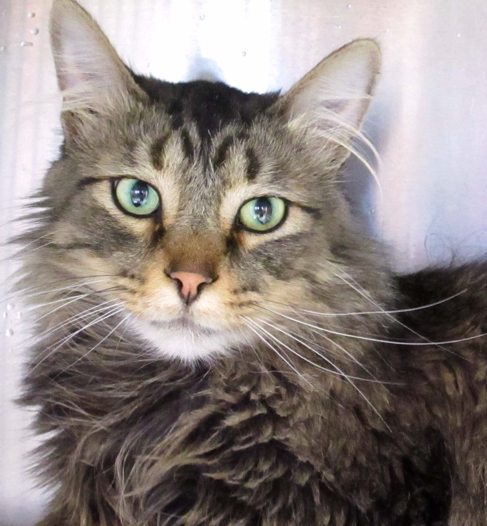 Al is a beautiful year and a half oldDomestic Medium Hair. He is a very nice boy that would love for you to come and visit with him and bring him to his forever home!
