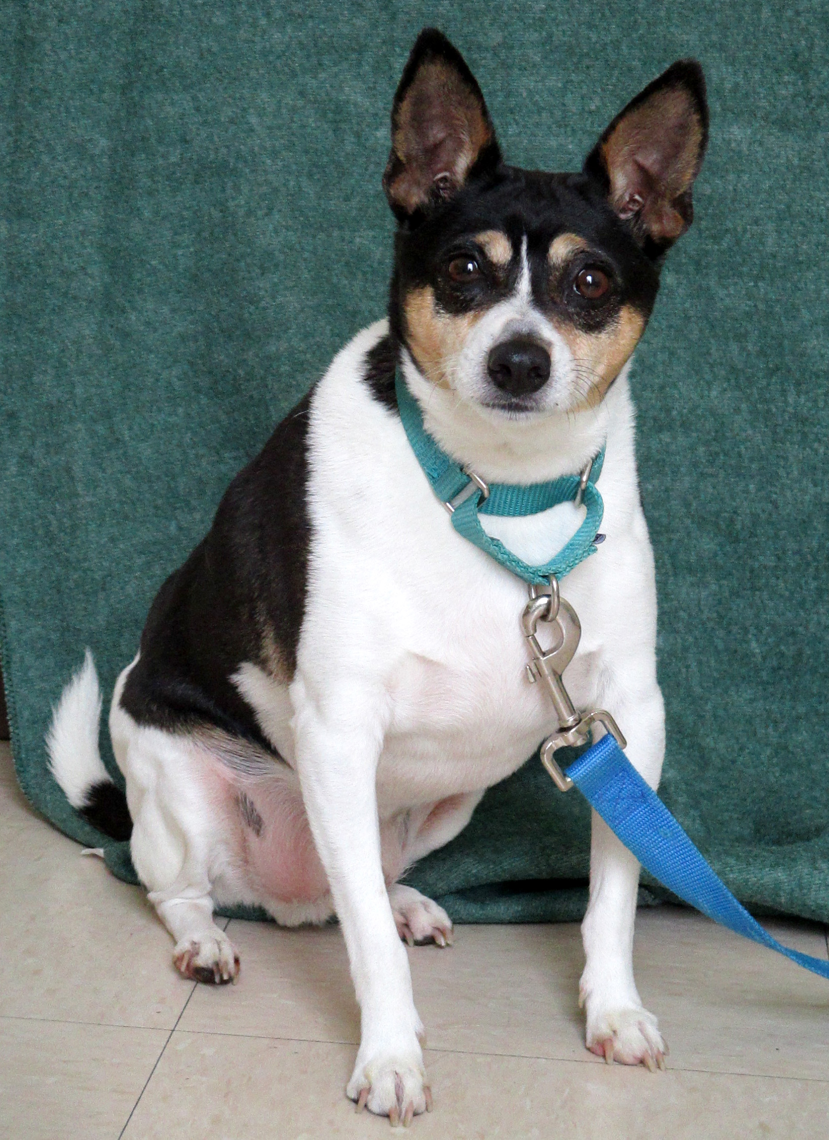 Prince is a 8-year-old Chihuahua/Rat Terrier. This boy loves his food! This means two things--he needs a diet and exercise plan, and when he is around his food bowl he needs to be left alone. For these reasons, he can't go to a home with small children. However, he does likes cats and some dogs.