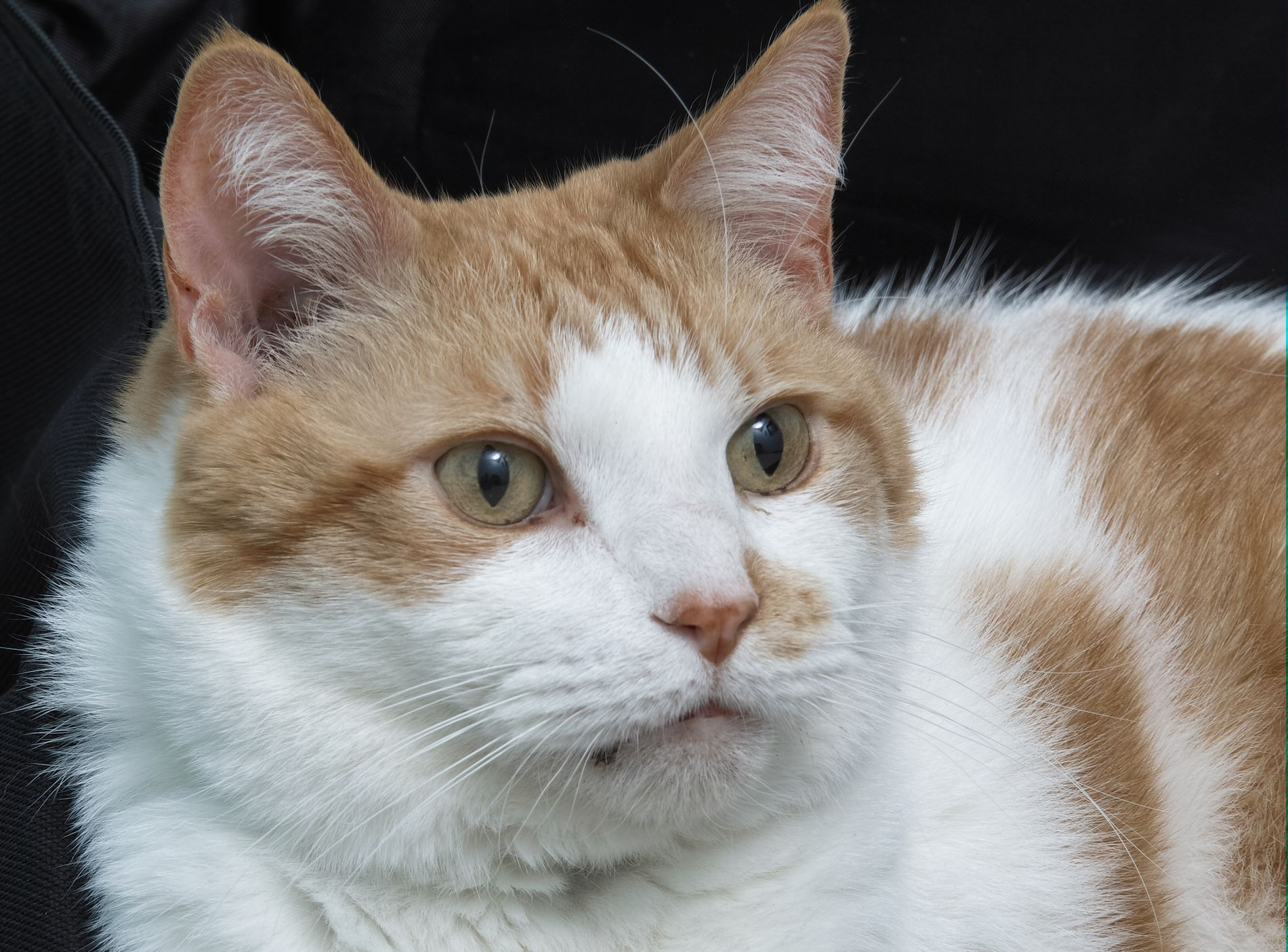 Murphy is a very sweet 10.5-year-old neutered male. He has been at HAWS since March--longer than any other cat at the shelter! He is patiently awaiting for his forever family to find him.