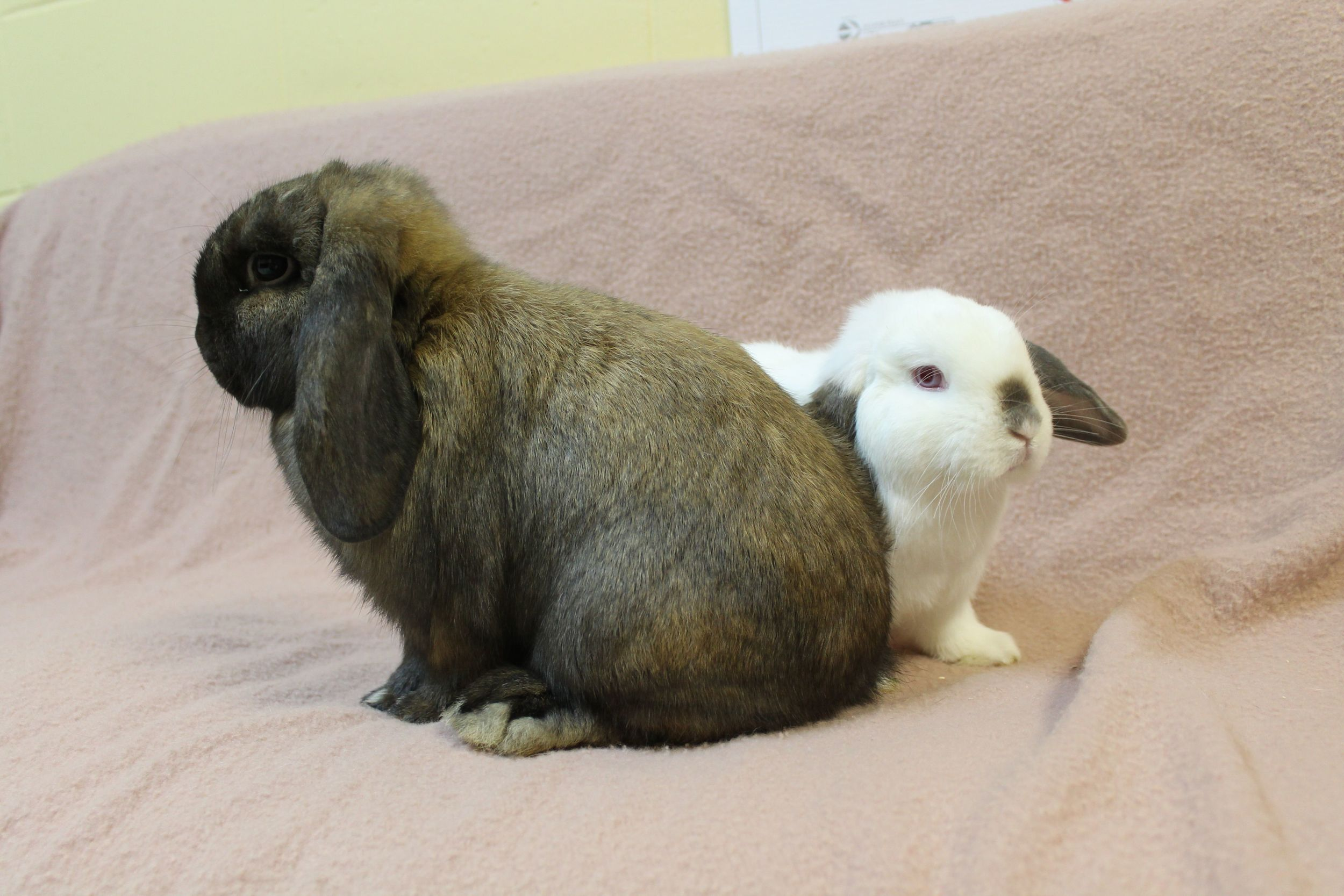 Brownie and Snow are an absolutely adorable little couple! They are very tightly bonded and must be adopted together. They will make you smile every day as they snuggle up together and groom each other. Bonded bunnies are twice the joy and fun!