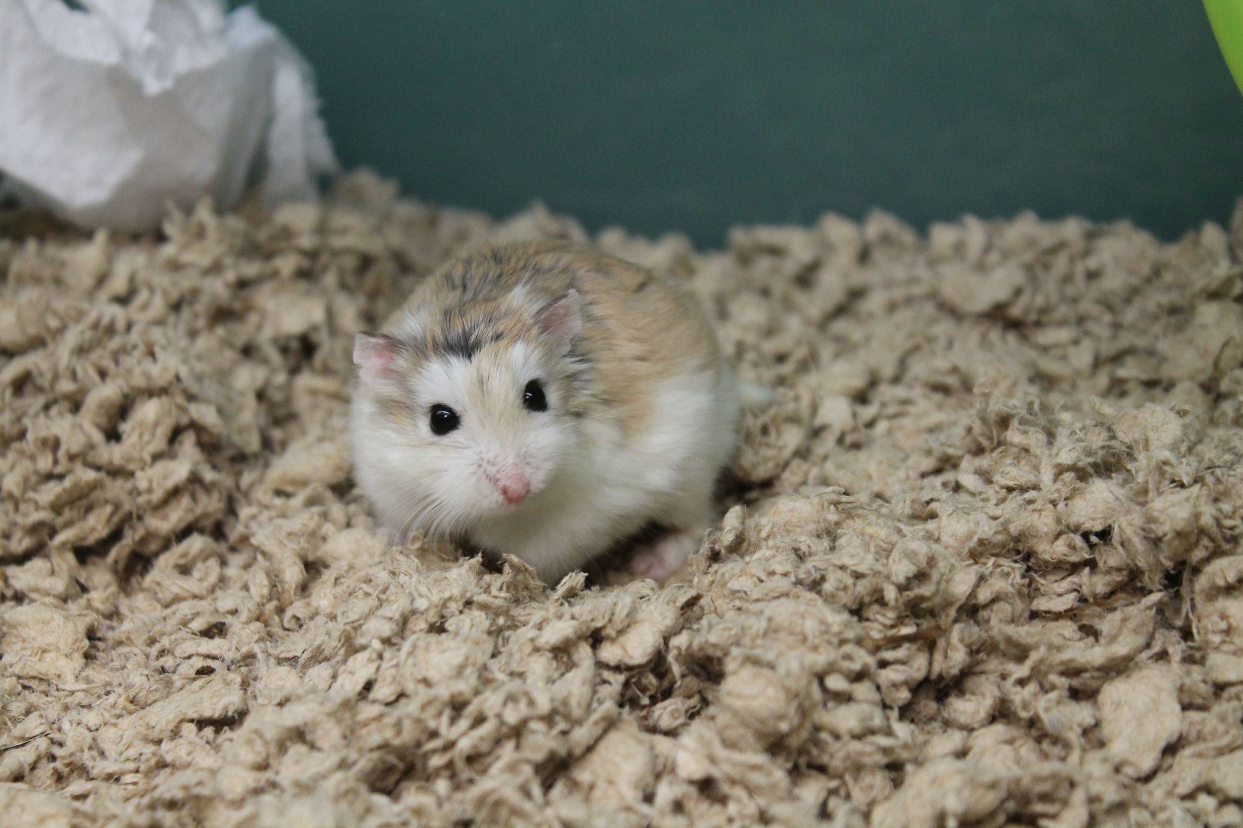 Bentley is a tiny little guy and full of speed--he is Roborovski Dwarf Hamster. He not easy to hold as he prefers to always be on the move rather than sit still. He would not do well with children. He is very cute and will be very entertaining as he scoots about his house and run in my wheel at high speeds!