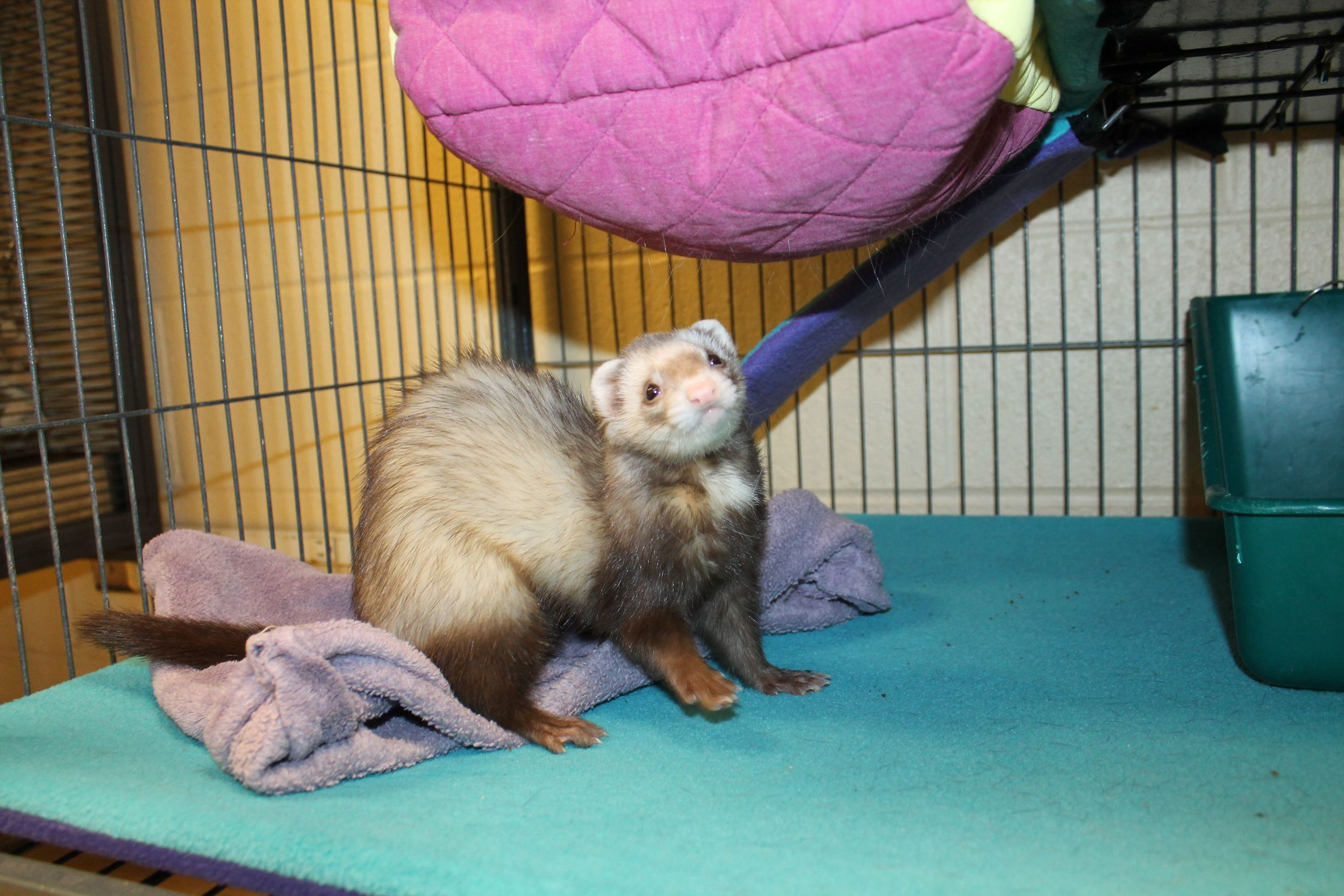Rose is a playful little gal! She can, however, be a bit too rowdy and play a bit too rough. An experienced ferret family might be best for her. A home with another young and playful ferret might also be a good match. Ask to set up a meet and greet if you are interested in having Rose as a companion for your ferret!