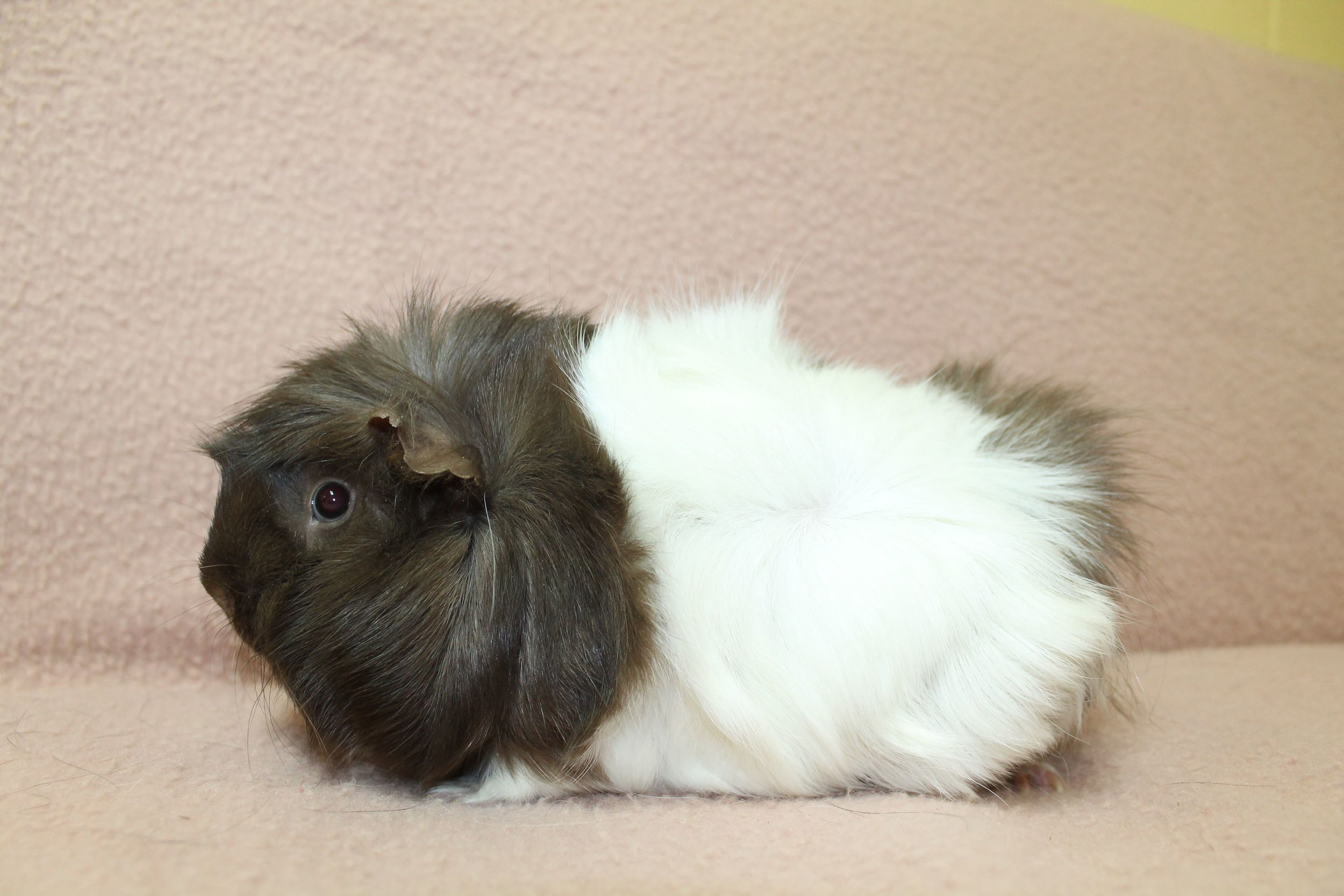 Chelsea is a very sweet little thing. If you are looking for a Guinea Pig to hang out with, she is the one for you. She really enjoys lounging in the laps of her human friends.