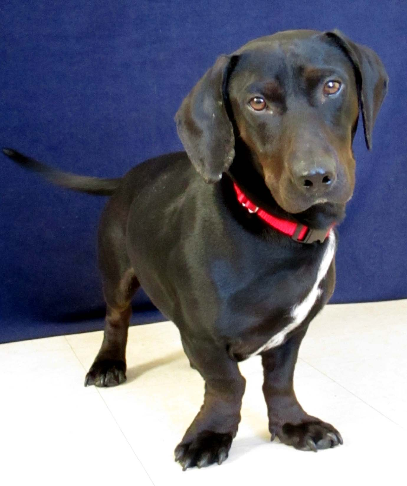 Ray is a 2-year-old Dachshund mix. He is very sweet and cuddly. Ray was transferred here from another shelter in Alabama. Unfortunately he has heartworm;but luckily for him it has been treated. It can take up to 6 months after treatment for the heartworms to be gone. Due to this, Ray would be fostered by his family until he would test negative for heartworm. Once he is negative, he could officially be adopted!