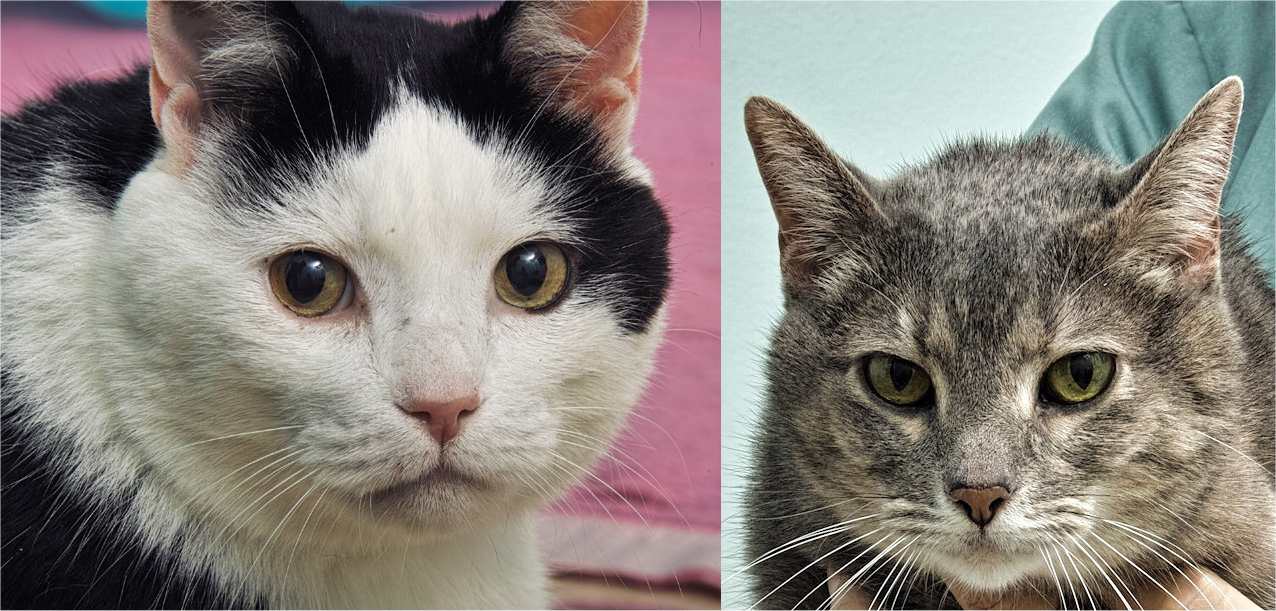 Johnny and June are a sweet bonded pair! They are 9 years old and must go home together. June is front paw declawed and Johnny has claws on all 4 feet. They would love to snuggle up next to you and get lots of loving!