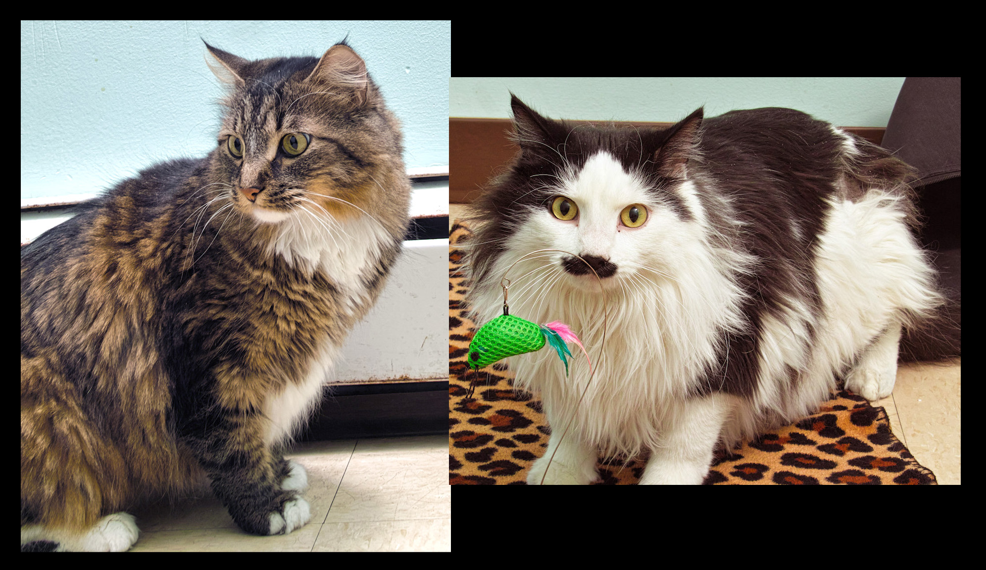 Leo and Stashie are a bonded pair of young boys. They love to lay around but thier favorite thing is to play with wand toys!