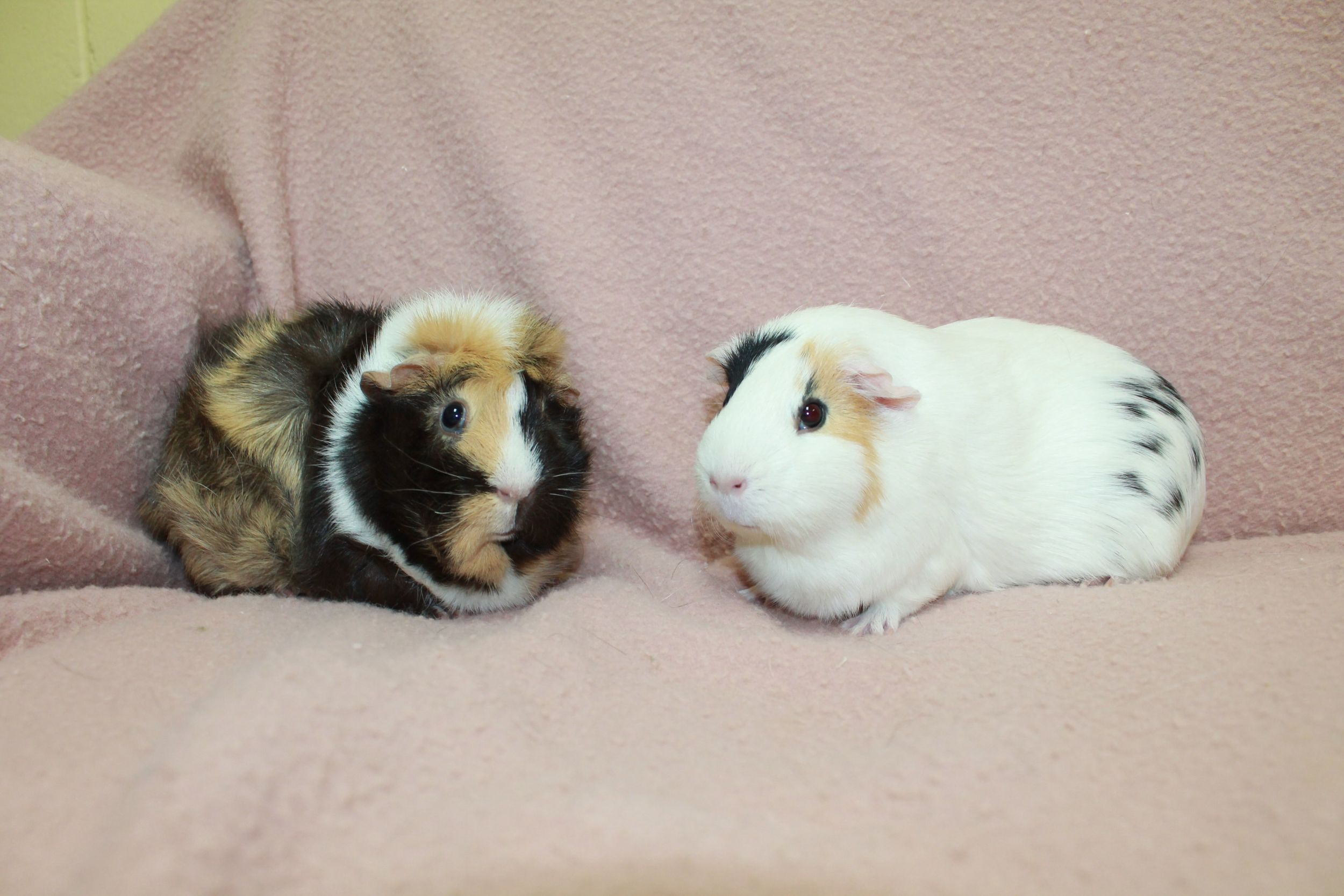 Suzie and Rosie are a bonded pair of Guinea Pigs. They are almost 2 years old. They enjoy green leafy salads and snuggling in nice cozy laps enjoying gentle pets.