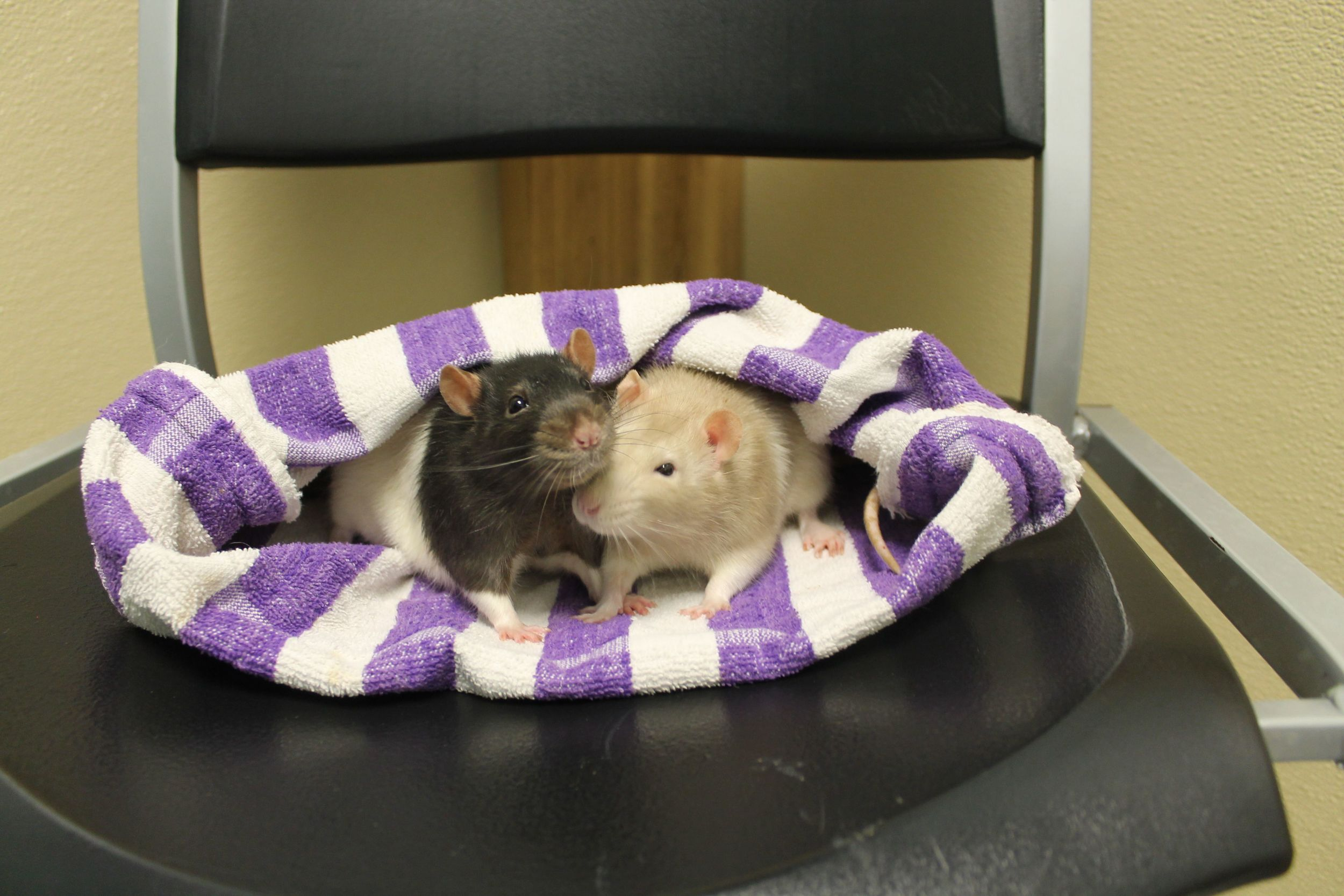 Louie and Nesta are a sweet pair of bonded rats! They are both very social, loving, and gentle. They love to have their heads pet and enjoy interacting with you. They will bring lots of happiness to your home and will become your constant companions!