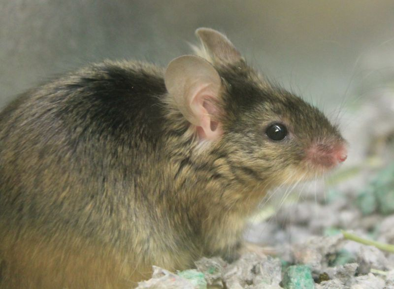 Mark is a very intelligent, friendly and relatively easy and inexpensive to care for companion! He would make an excellent first pet and am easily handled. He will be most active in the evenings when you are home. ((HAWS mouse special! $10 for the adoption fee, and all necessary items for the mouse!))