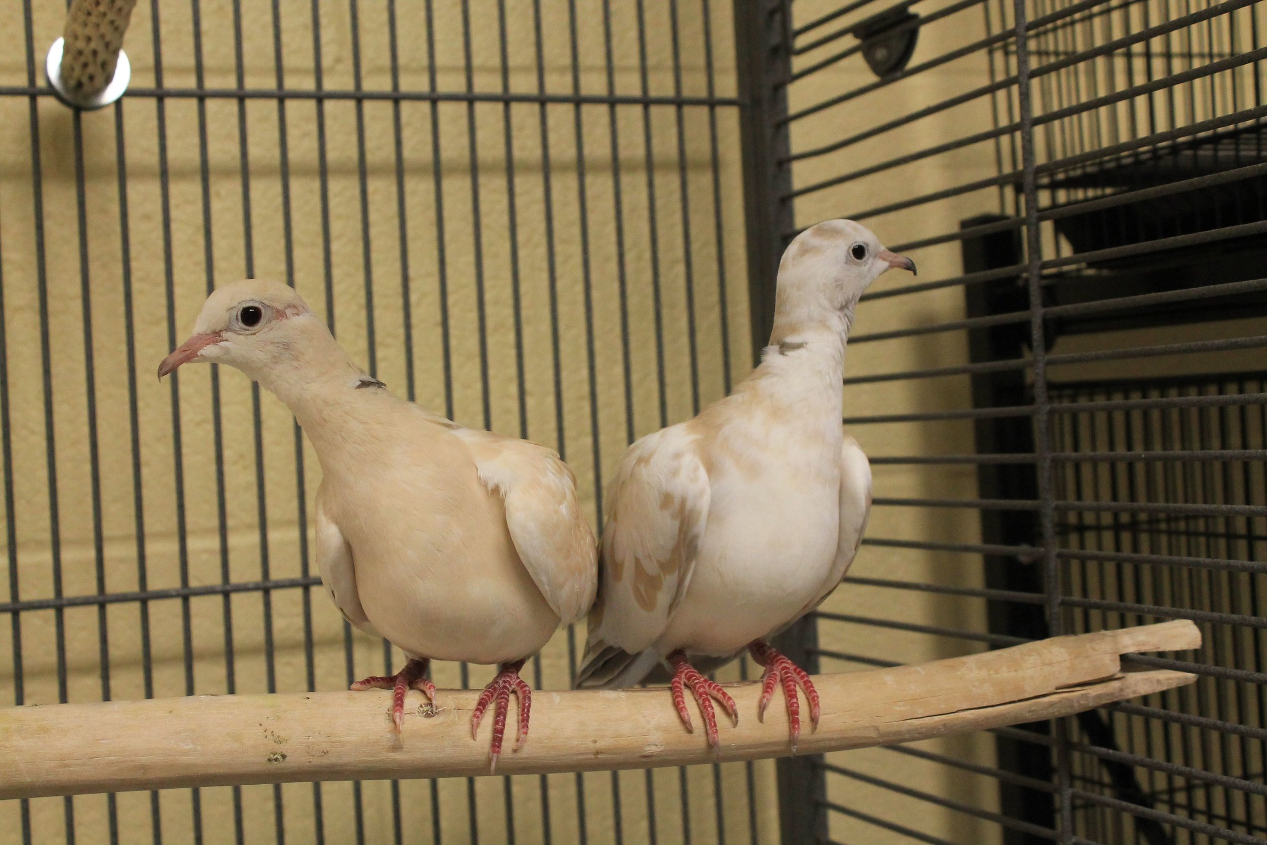 Angel and Sweetie are a pair of very gentle and peaceful Ring-neck Doves. They are quite easily handled and are very gentle and peaceful birds. They are not loud, and make gentle cooing and funny laughing sounds. Don't forget about our FREE Avian Extravaganza, held at HAWS on 9/11/16 from 1-4pm!