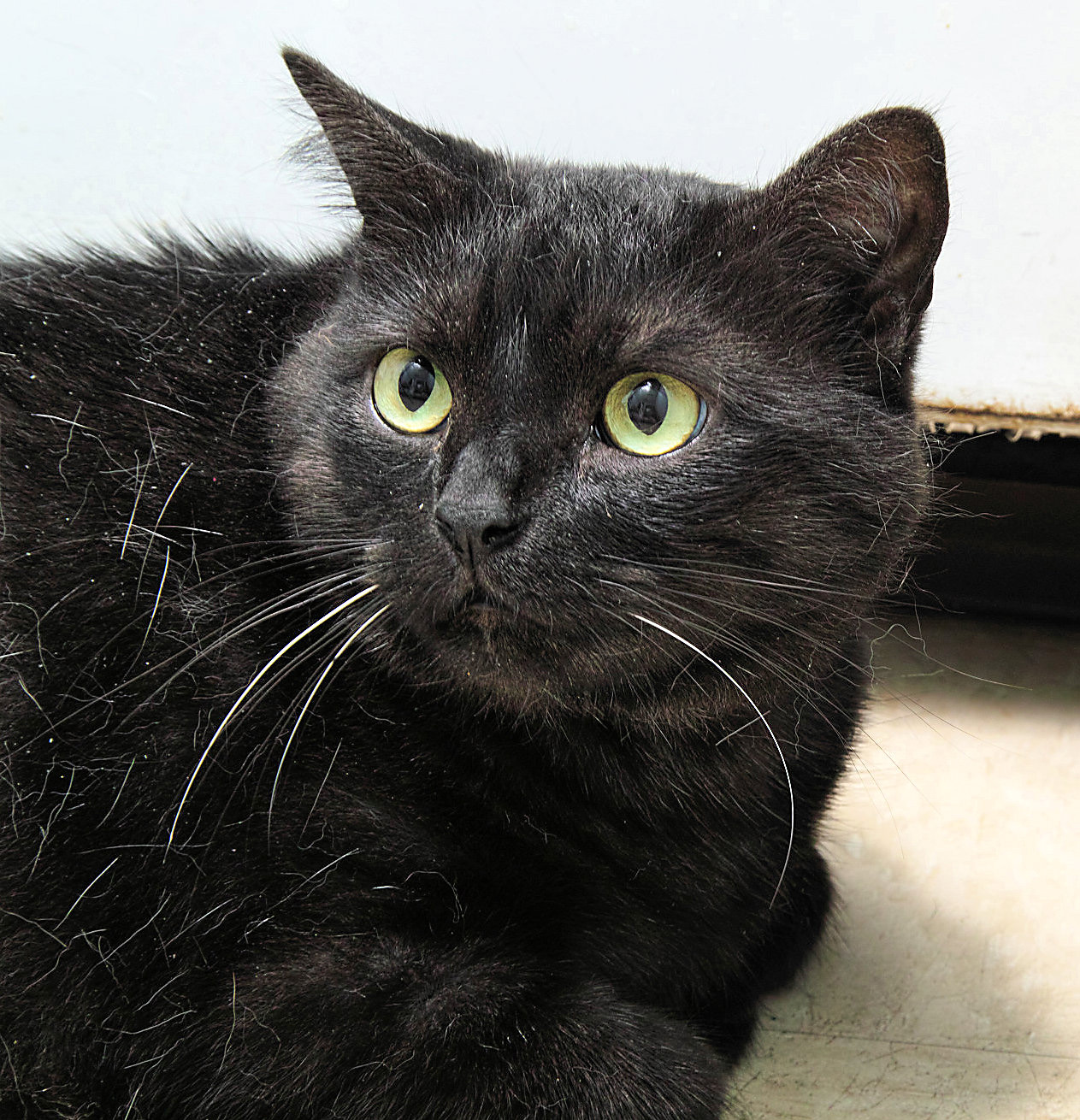 Zoey is 8 years old and hasn't been at a shelter before--she is very shy and scared here. Even though HAWS makes her as comfortable as possible, it is not the same as being in her own home. She wants you to know that once you spend enough time with her she is very affectionate.