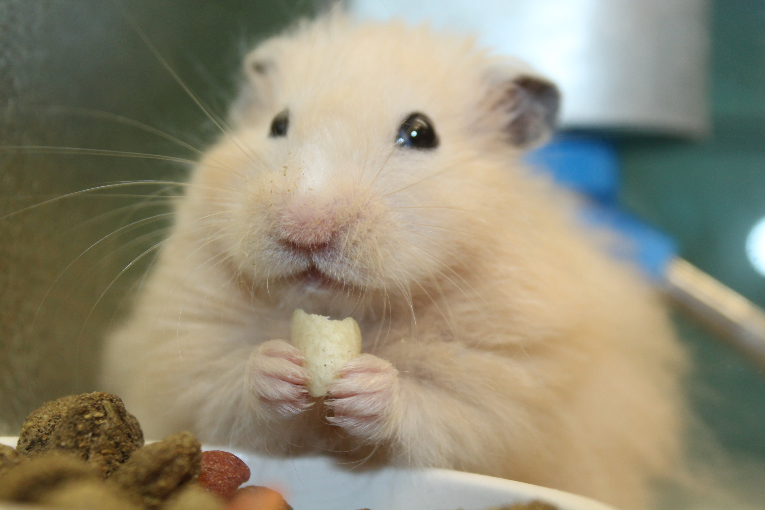 Meet Cornelius! He is an adorable, young Syrian Hamster. He is very friendly and quite handle-able and would love a home to call his own! Hamsters are easily cared for and make great pets.