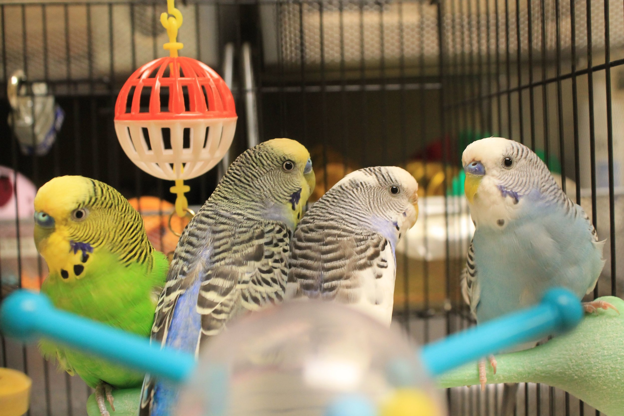 Timmy, Indy, Speckle and Sunny are a foursome of fun and happy parakeets! They love being together so they would love to be adopted as a group or in pairs--they would be very unhappy if they had to live as a single bird. You will be entertained with their funny cage antics!