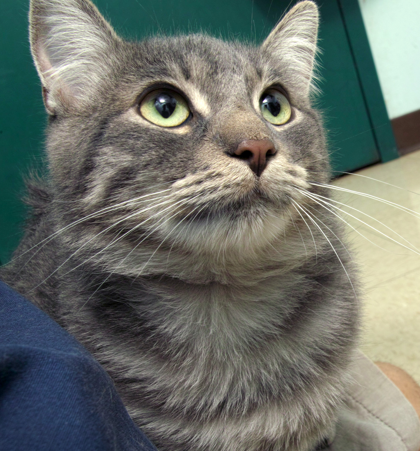 Randy came to HAWS as a stray--a nice person found him under a car and brought him here. He is a little over a year old and as sweet as can be! He would love for you to pet him all day long!