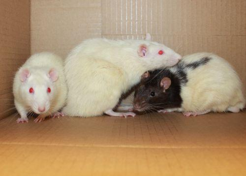 Frisco, Elvis and Cornelius are a timid trio that was transferred here from another shelter after being left by a dumpster with 21 other rats. They are quite shy, most likely because of their previous situation.  With lots of daily interactions and snuggle time, they will become confident and trusting of their human family.