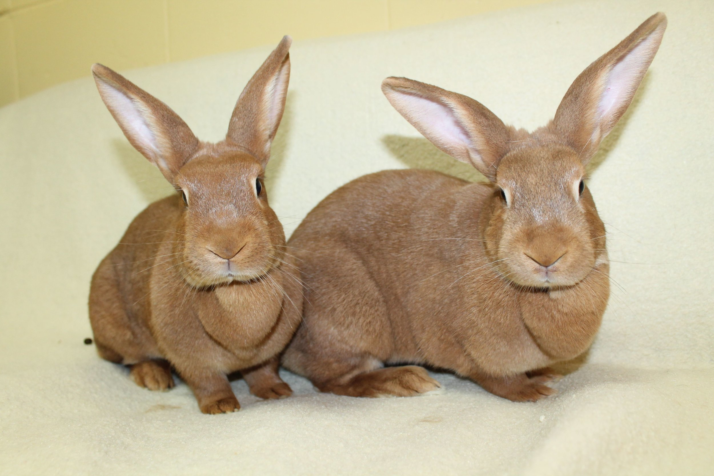 Scarlet and Ruby are a beautiful pair of bonded bunnies. They are very friendly and love to hang out with their human friends. Having a pair of rabbits is a wonderful experience as they share everything and snuggle together, groom each other and even share the same piece of lettuce! They will make you smile every day!