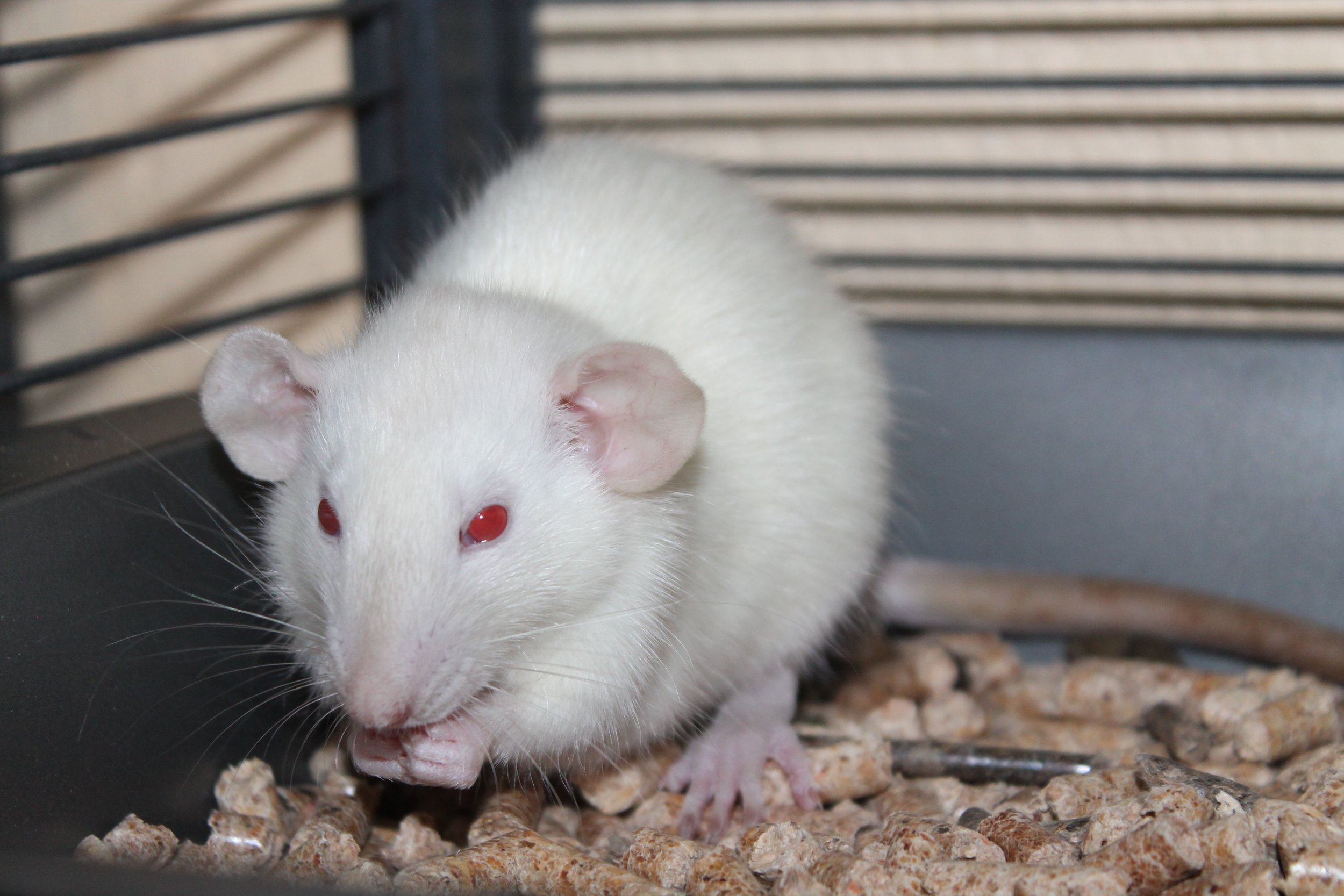 Ross is a sweet and friendly little fellow. He is a Dumbo rat and just a baby. After a rough start to life he is looking for a loving forever home. He is looking forward to spending lost of time with his human companion(s).