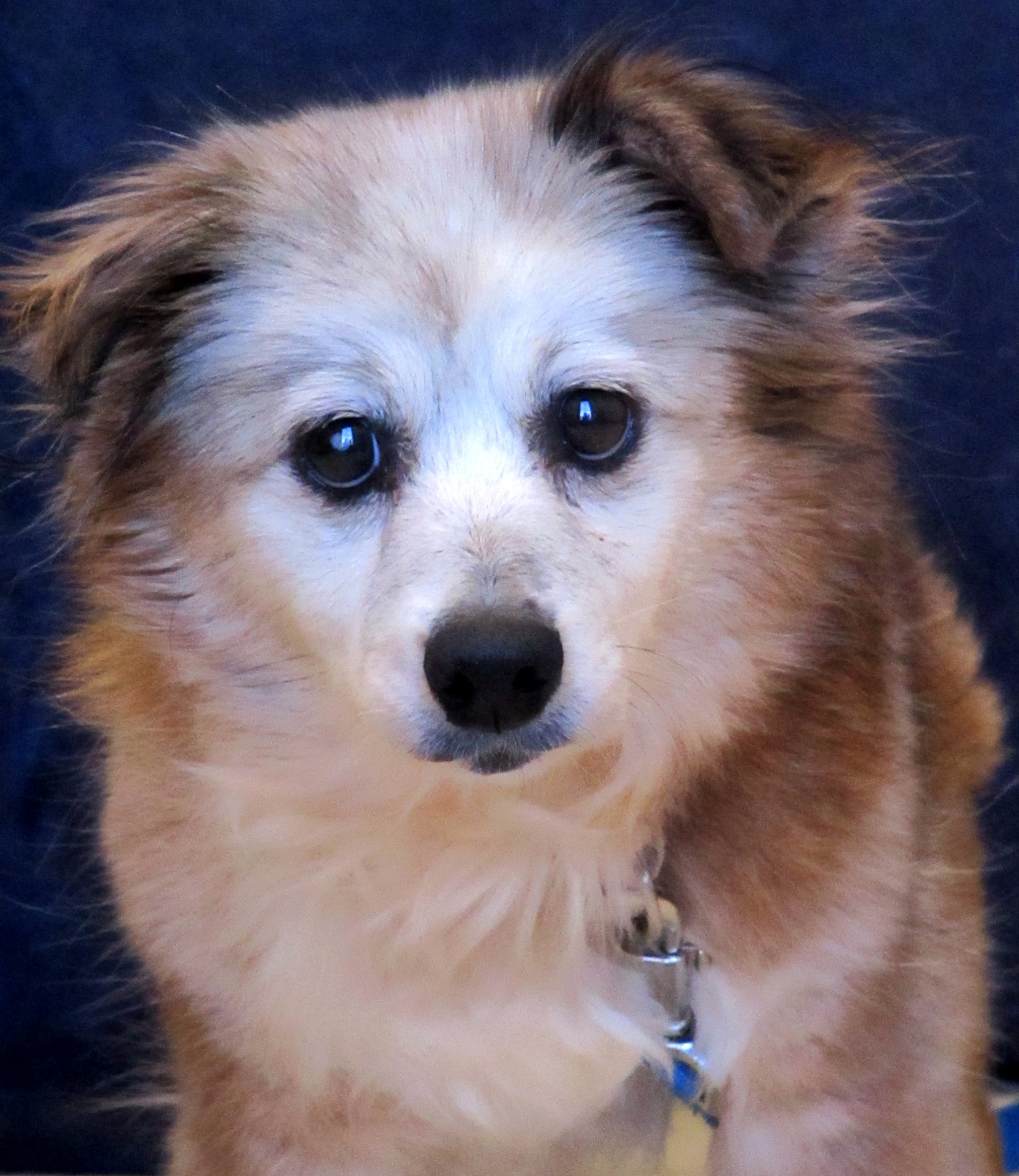 Molly is the definition of a sweet senior! She is a 13-year-old Dachshund/Terrier mix, looking for her retirement home. Molly is a great on her leash and knows her basic commands. She would prefer to snuggle on the couch over playing with toys.