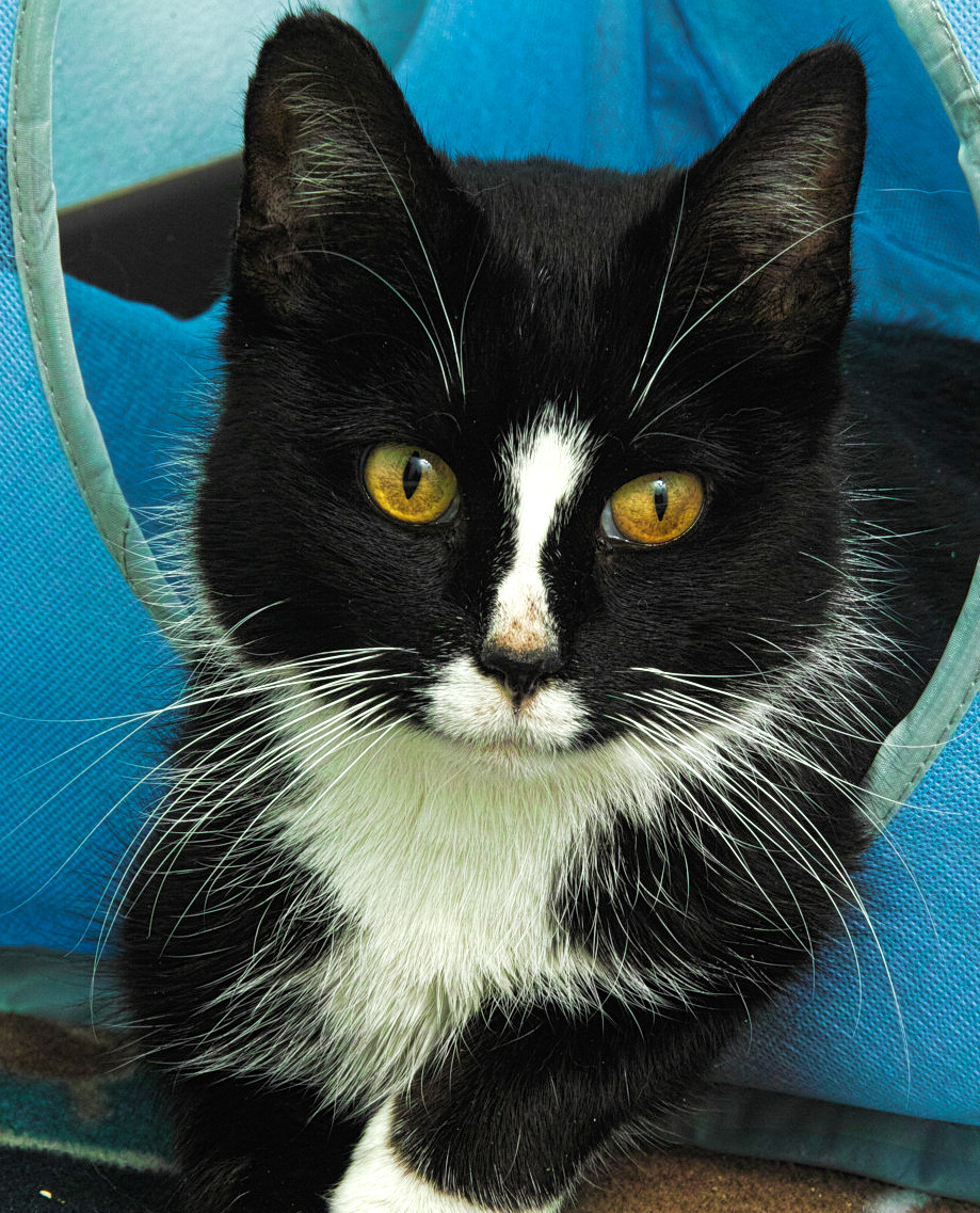 Pez a sweet lady! She is 10 years old but you would never know--she is very petite!She loves to play with toys but will also enjoy time sitting in your lap. Pez will show off her purr to you as well--she is very affectionate and you will get purrs in return. You will fall in love instantly with her!
