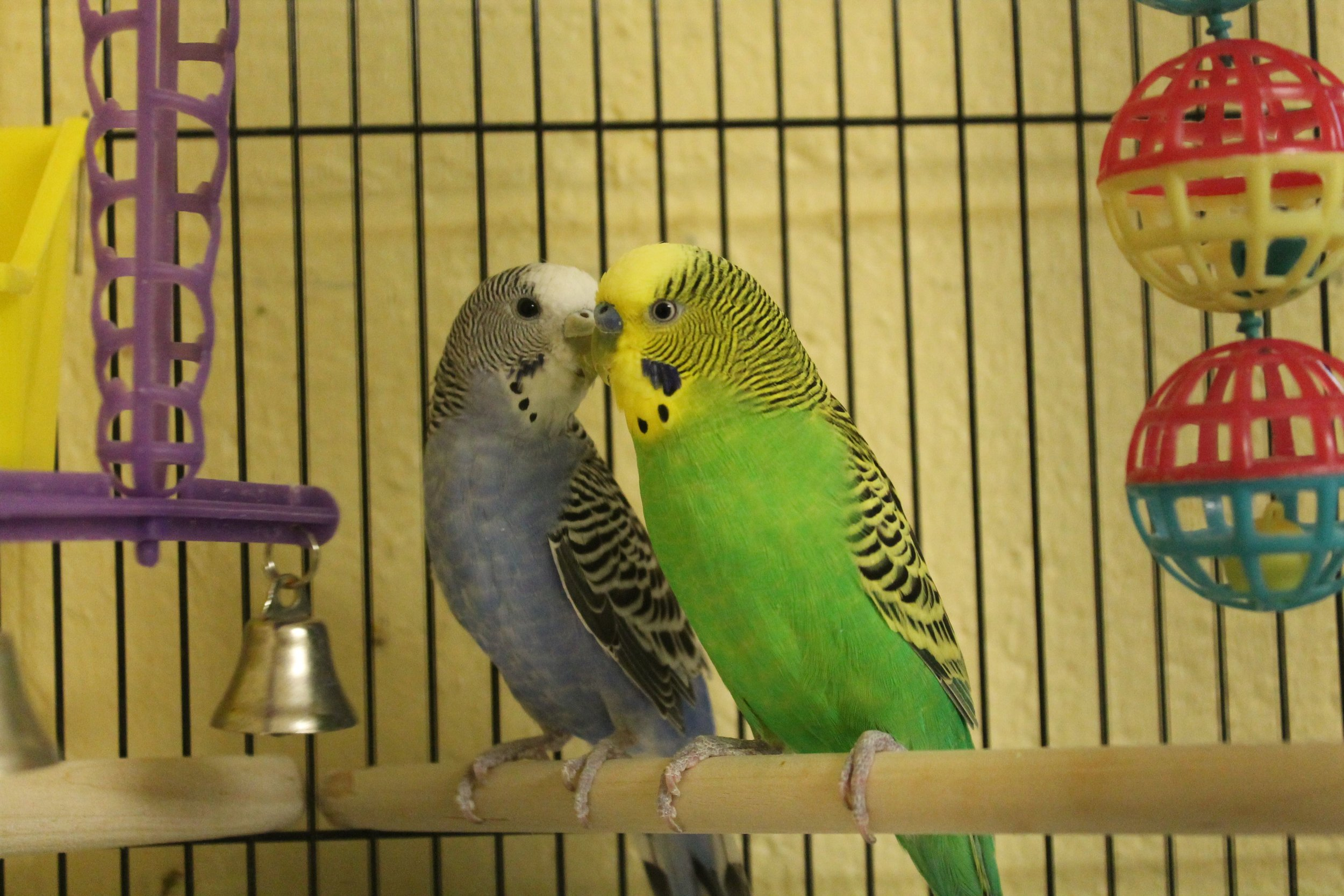 Anna and Kristof are a great pair. They love each other very much and are looking for their own family to love. They have fun when they chit chat to each other and snuggle close together. Come see them soon--they will bring much happiness into your home!