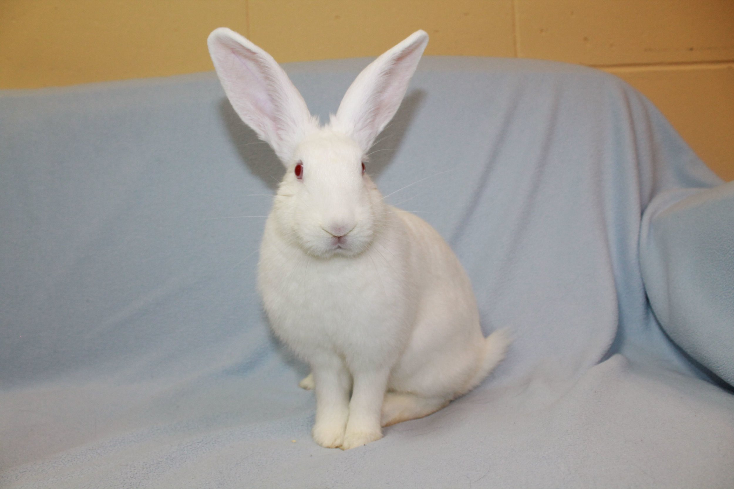 Ms. Wisconsin is a beautiful New Zealand rabbit that made the journey to HAWS from Alabama in hopes of finding her forever home. She is a sweet southern girl. She is pure with pretty ruby eyes! She is very friendly and enjoys attention. She is a social butterfly and loves hanging with all humans and enjoy loving pets!  She even seems to enjoy the attention of children and would do well with them (supervised interactions, of course). She will make a wonderful life-long companion that will bring much happiness into your home.