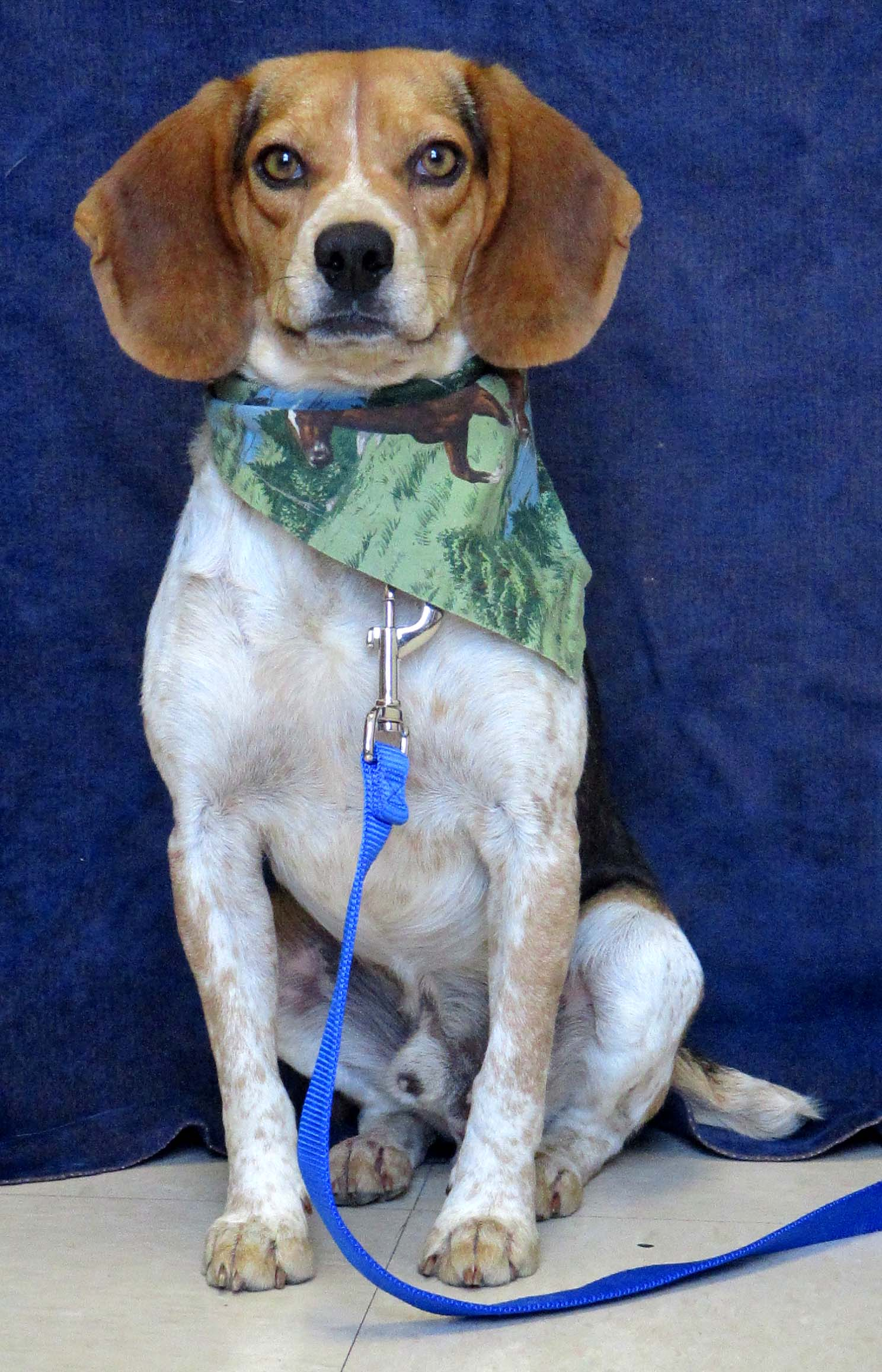 This is Buddy! He is an active 3 year old. When he initially meets people he can be shy, but he does warm up quickly. Buddy plays well with dogs in the shelter, but in the home he can get too intense. If smelling was an Olympic sport he could win the gold!