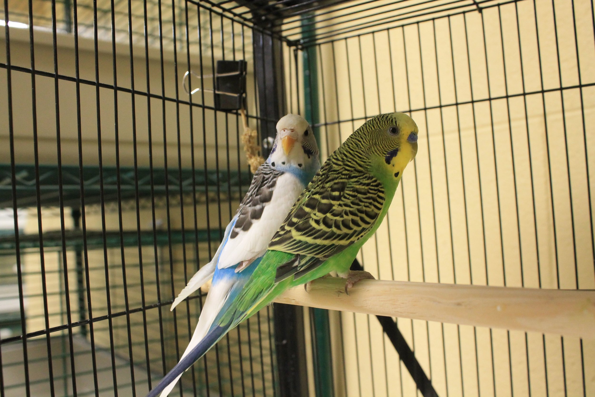 Rett and Scarlet are a pair of loving parakeets in search of a new home together! Their home was displaced when their owner passed away. They love to sit side by side on their perches and chit and chat all day!