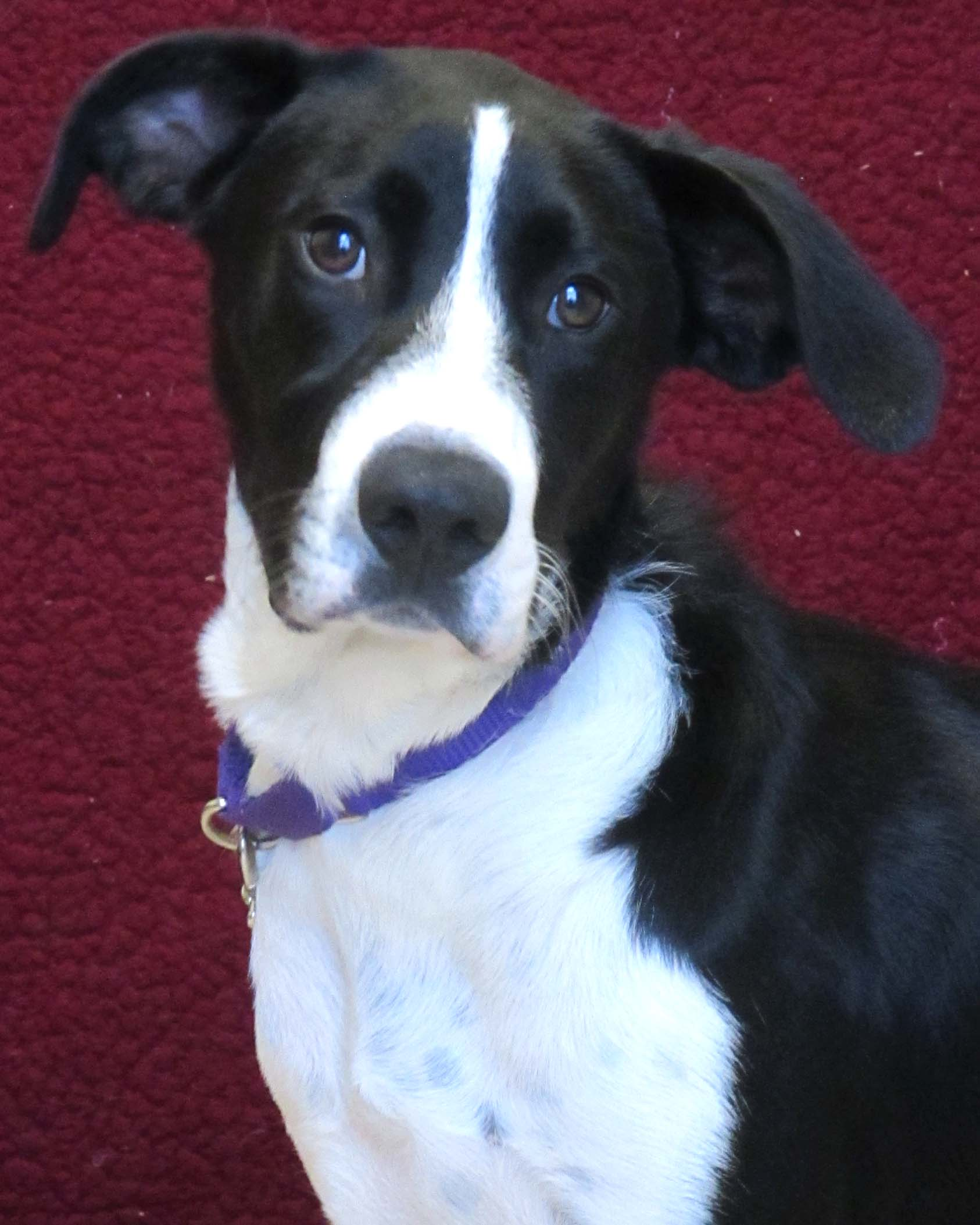 Myrna is a 6 month old Pointer and Terrier mix puppy. She really enjoys the company of people--including children. Myrna would do best being the only pet in the home as she is a little shy.