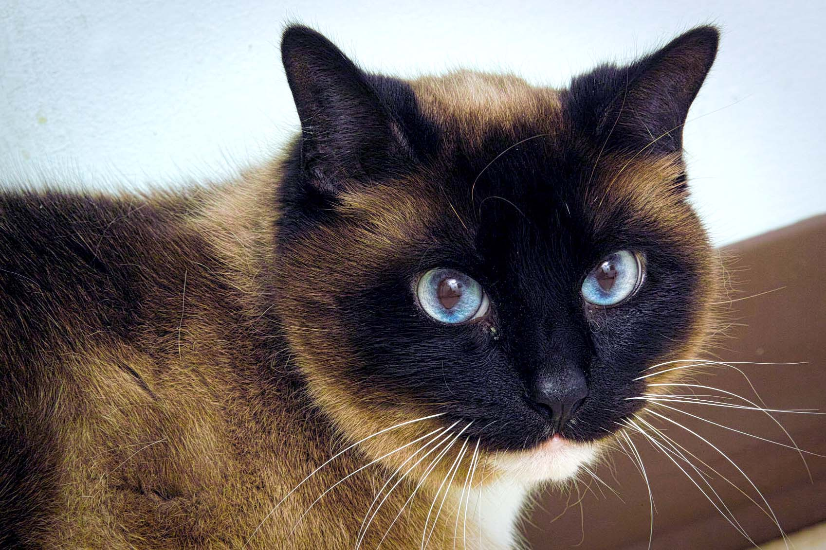 Mickey is an 8 years old domestic shorthair with Siamese markings. He came to HAWS because his owner was going away to college.Mickey likes spending time looking out the window and lounging around the house. If you want a cat, he would be handsome company. Some might say he is purrrfect!