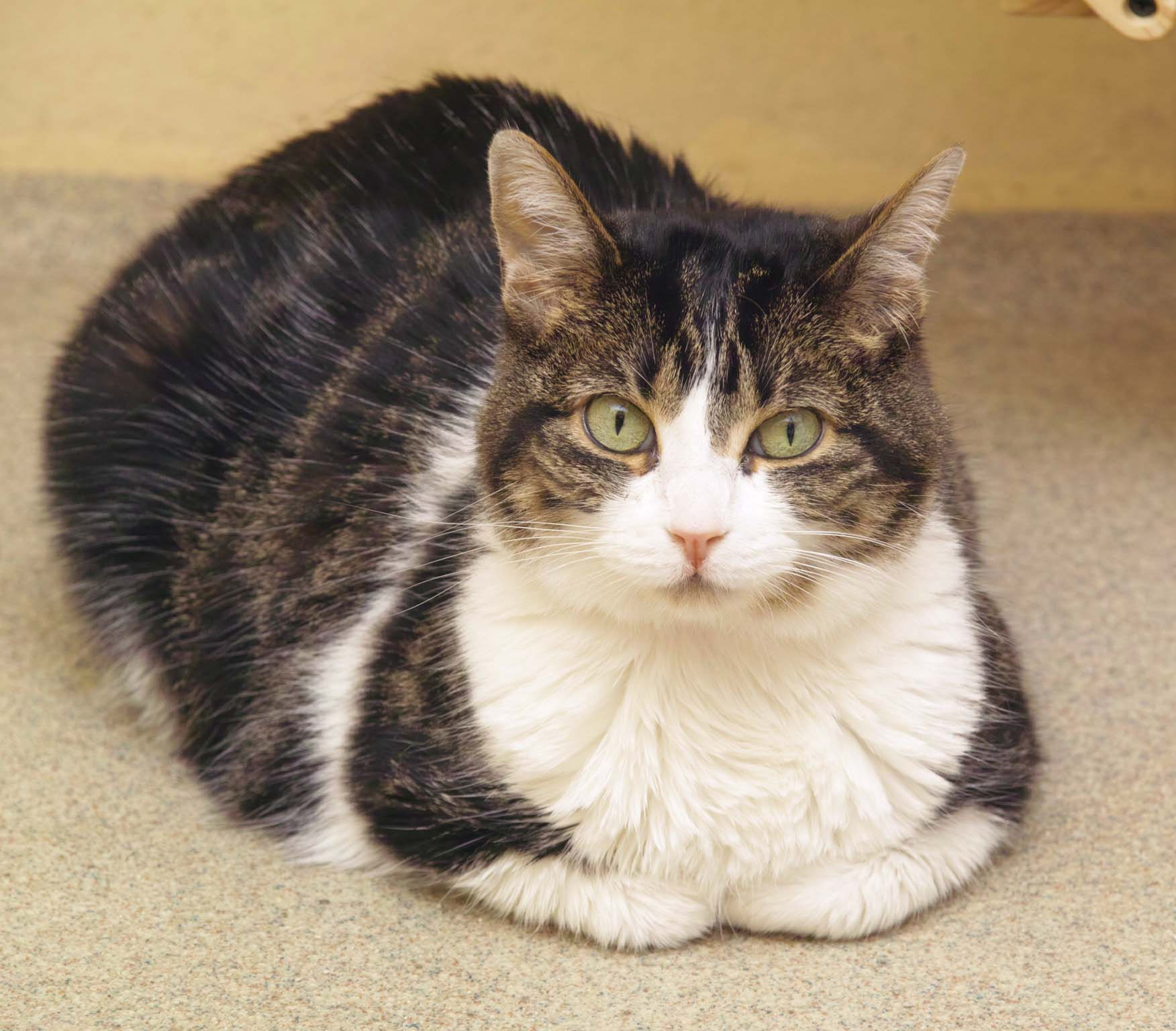 Helga is an adult cat who loves to lounge around!She came to HAWS as a stray after an adventure outdoors. No one came to reclaim her; she is now up for adoption.