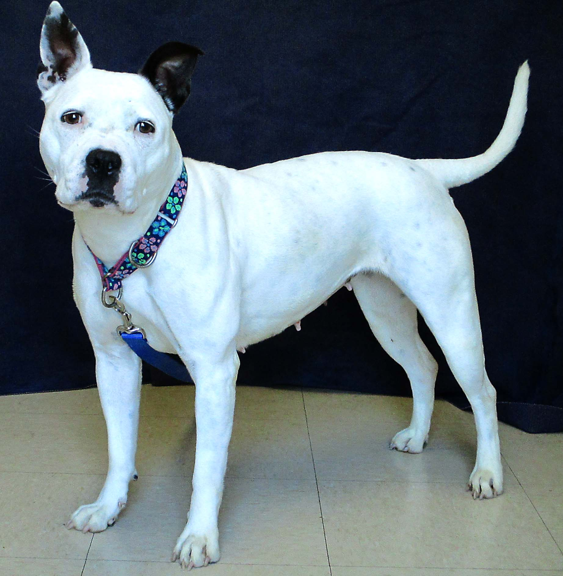 Starlyn is a 3 year old Pit Bull Terrier who is very strong and also very social. She may do best in a home being the only pet as she demands a lot of attention. The staff has described her as sweet, happy, and playful!