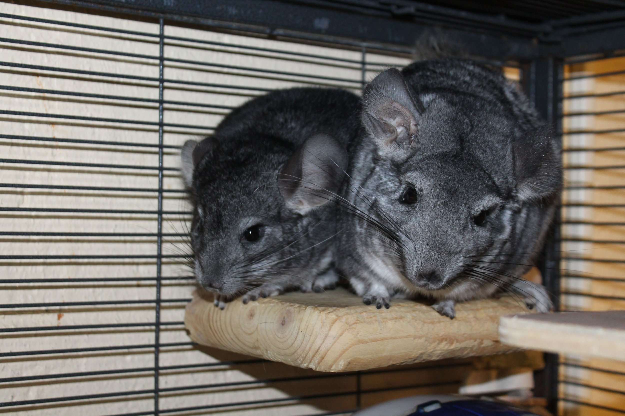 Fiona and Shrek are a mother and son bonded pair of chinchillas. They are quite active and need a very tall cage for hopping around. They would also enjoy a safe space out of their cage to scamper about and do some wall surfing!As a nocturnal species, they will be most active at night.