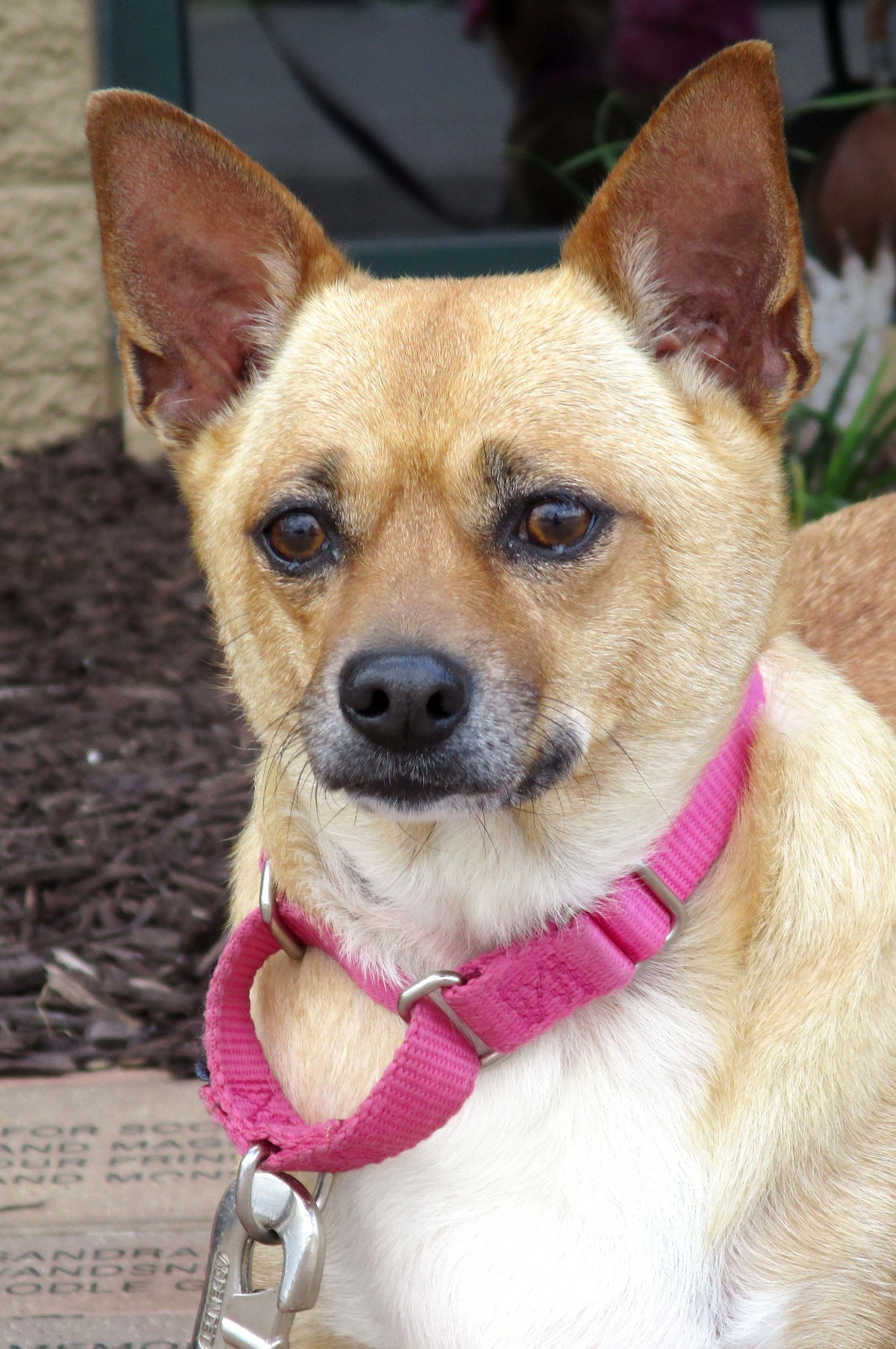 Snuggles is a 5 year old Chihuahua mix. She would do best in a home with teens and older. We are working on boosting her confidence. She is slow to warm up but once she does you'll have a pal for years!